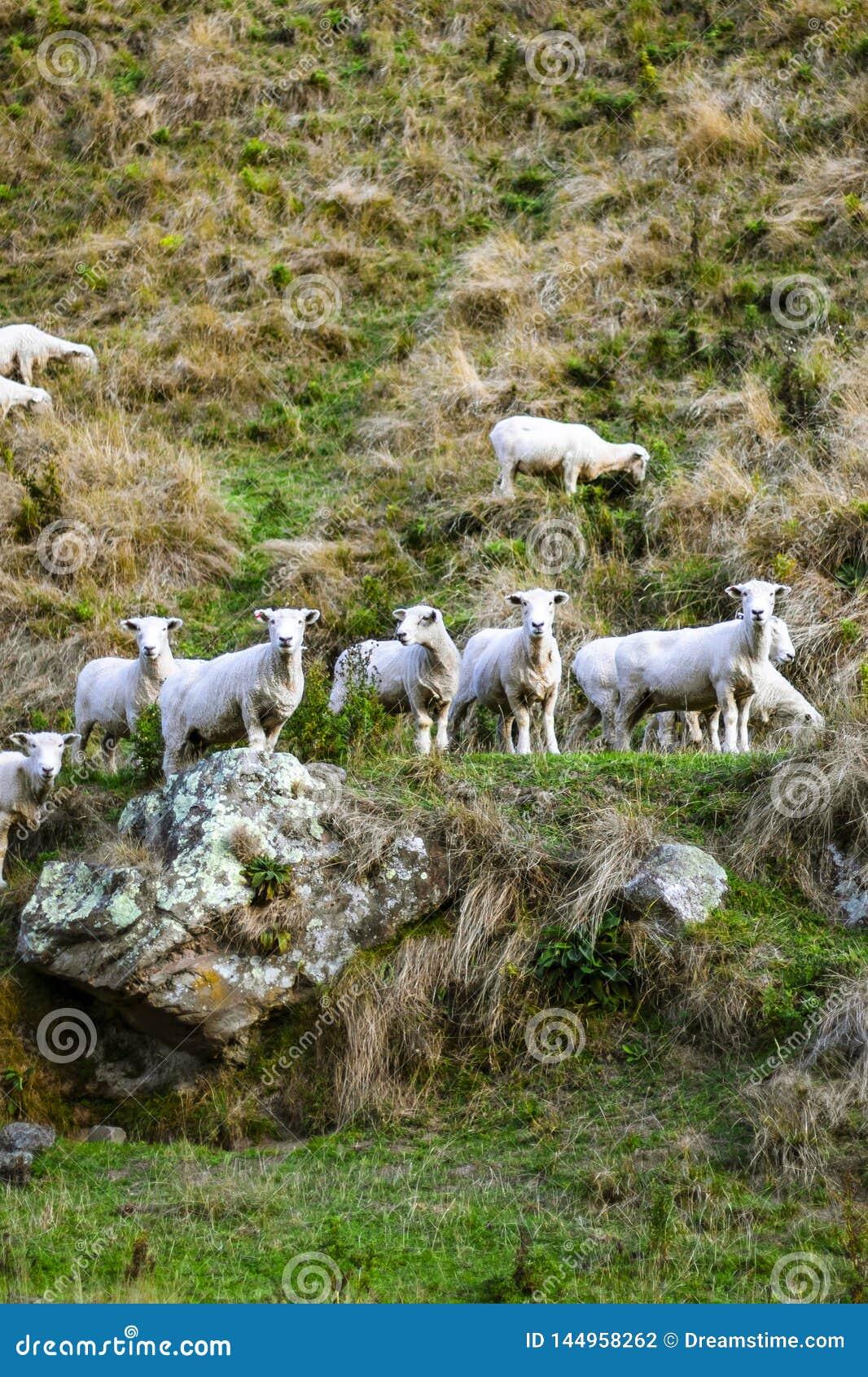Κοπάδι των προβάτων στο δύσκολο βουνό Ομάδα προβάτων στον τομέα χλόης