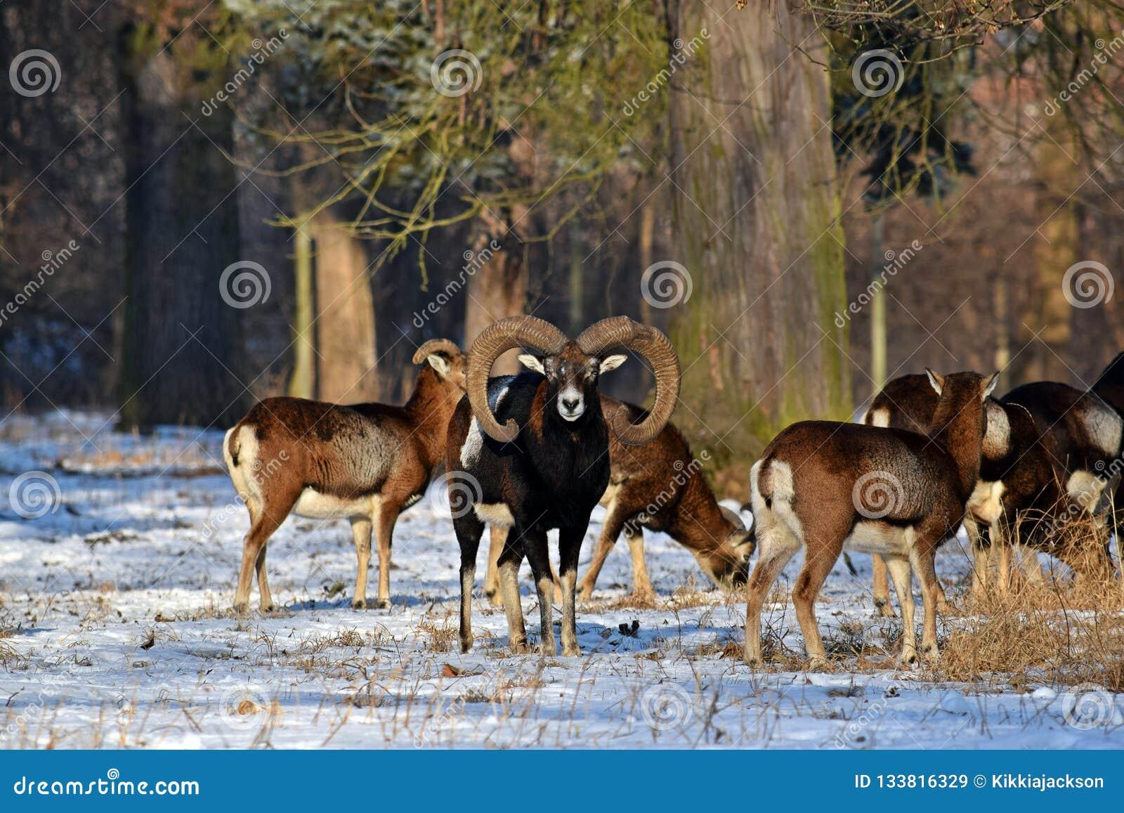 Κοπάδι Mouflon το χειμώνα στο χιόνι
