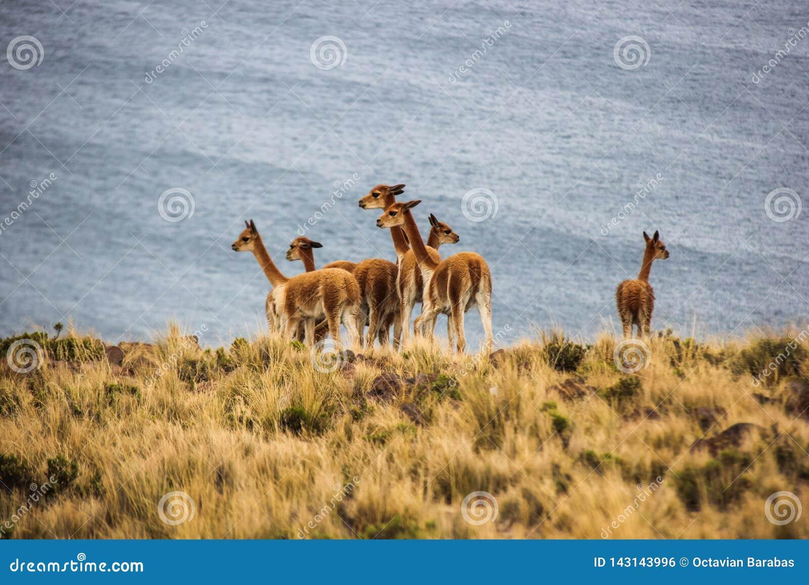 Κοπάδι vicunas κοντά στη λίμνη Titicaca