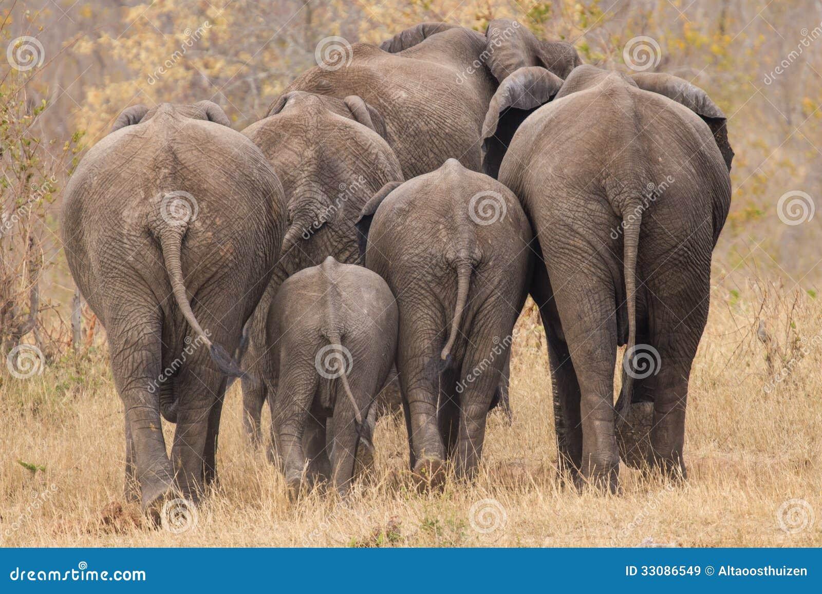 Κοπάδι αναπαραγωγής του ελέφαντα που περπατά μακριά το INT τα δέντρα