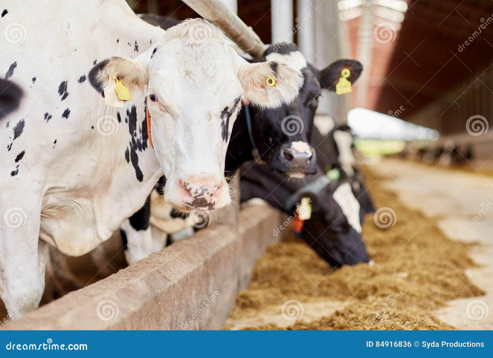 Κοπάδι των αγελάδων που τρώνε το σανό στο σταύλο στο γαλακτοκομικό αγρόκτημα