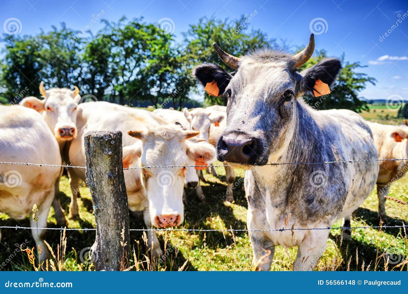 Download Κοπάδι των αγελάδων στο θερινό πράσινο τομέα Στοκ Εικόνες - εικόνα από πεδίο, ελάχιστα: 56566148