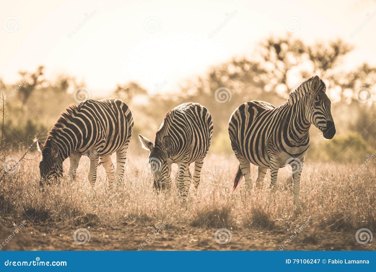 Κοπάδι των zebras που βόσκει στο θάμνο Σαφάρι άγριας φύσης στο εθνικό πάρκο Kruger, σημαντικός προορισμός ταξιδιού στη Νότια Αφρι