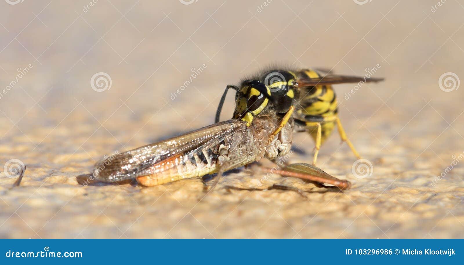 Κοπή σφηκών ενός grasshoppers κεφαλιού