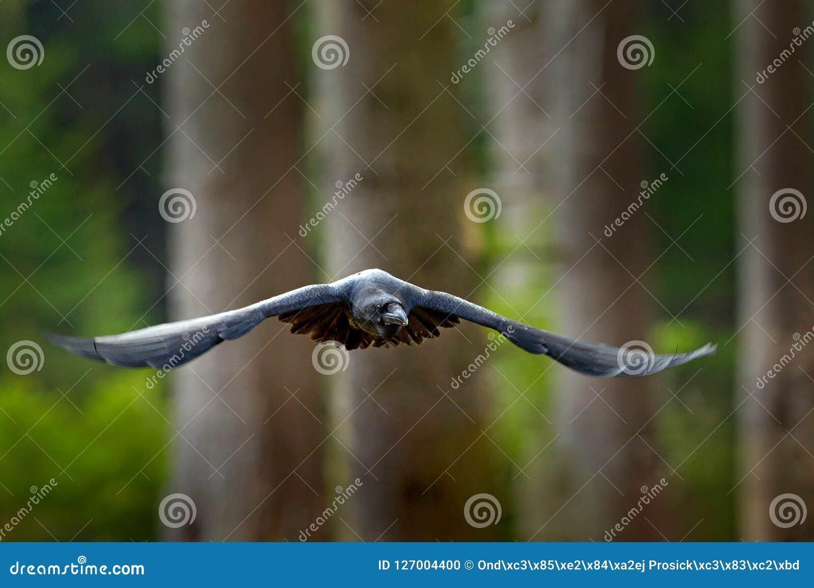 Γυμνό μαύρο πουλί φωτογραφίες