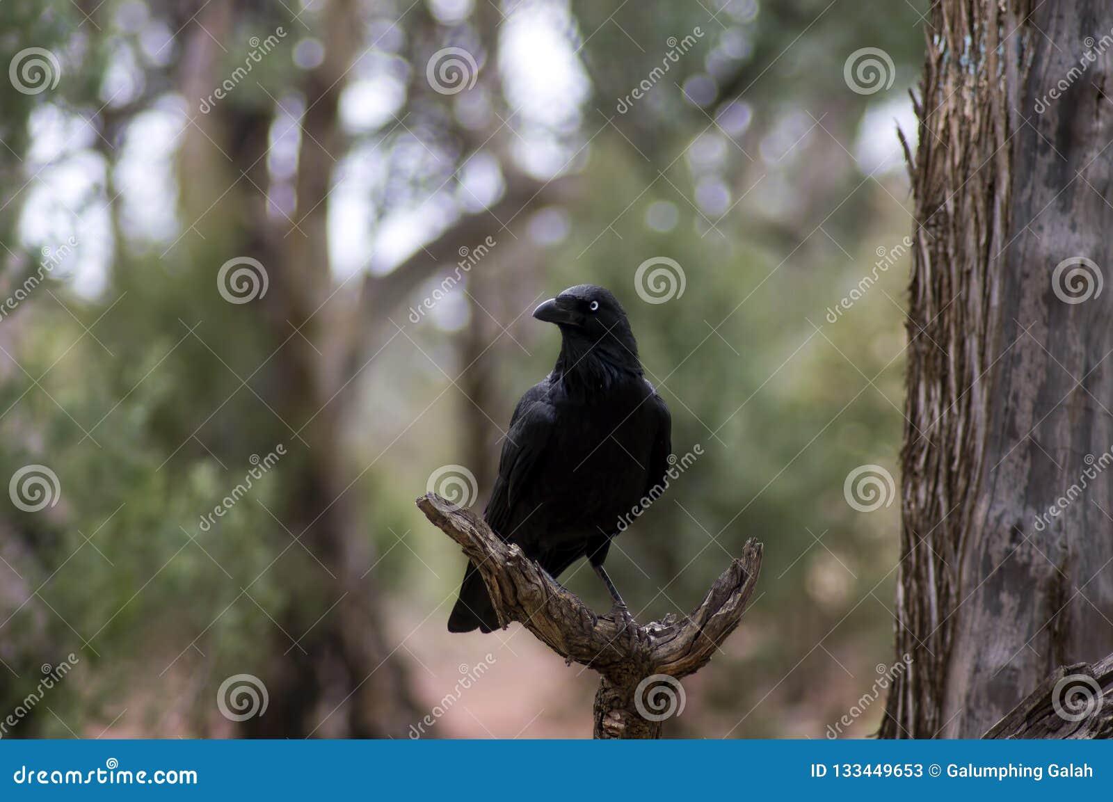 Κοράκι, λίβρα Wilpena, σειρές Flinders, Νότια Αυστραλία, Αυστραλία