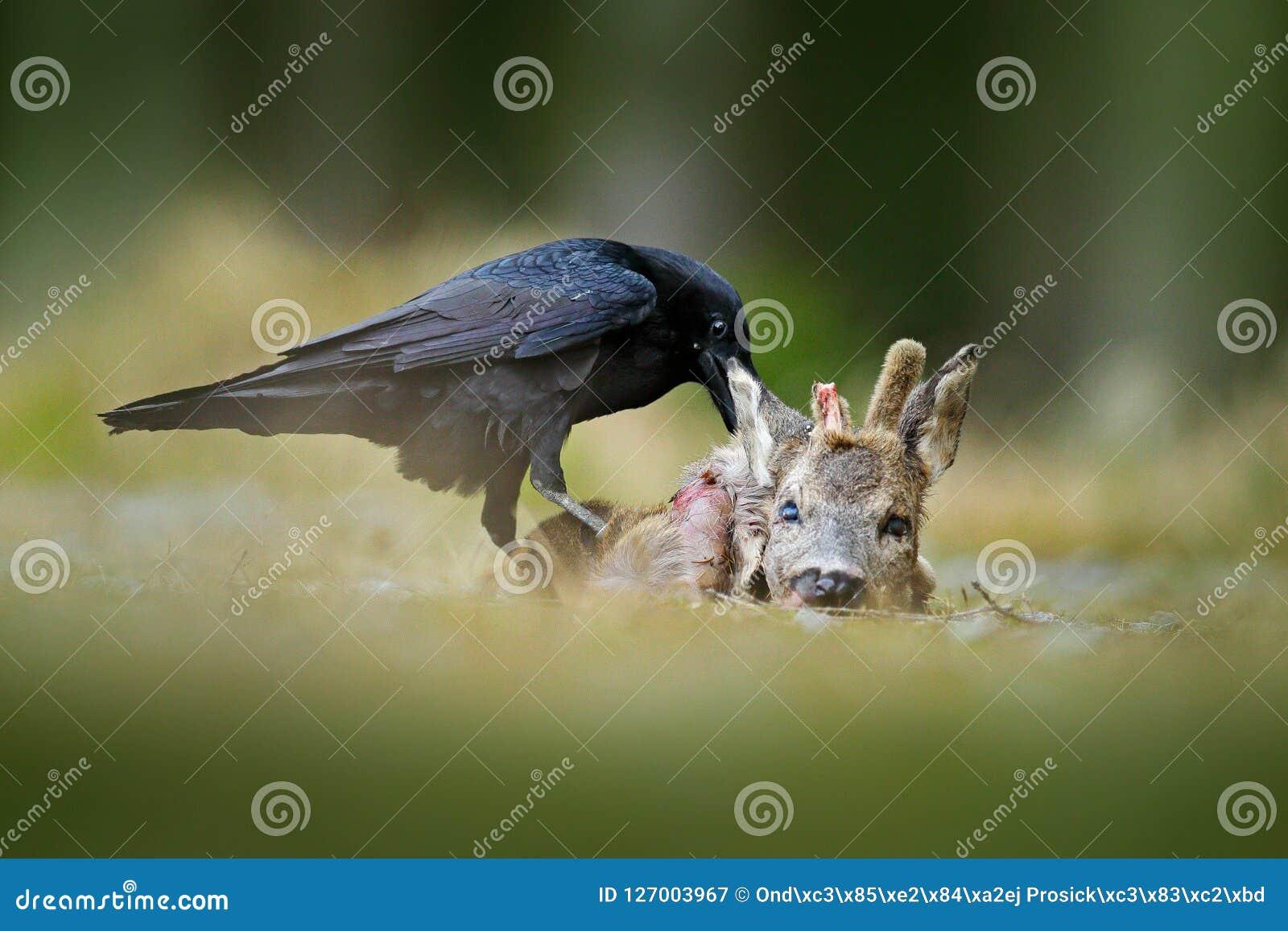 Κοράκι με τα νεκρά ευρωπαϊκά ελάφια αυγοτάραχων, σφάγιο στο δασικό μαύρο πουλί με το κεφάλι στο δασικό δρόμο Ζώο behavir, SCE σίτ