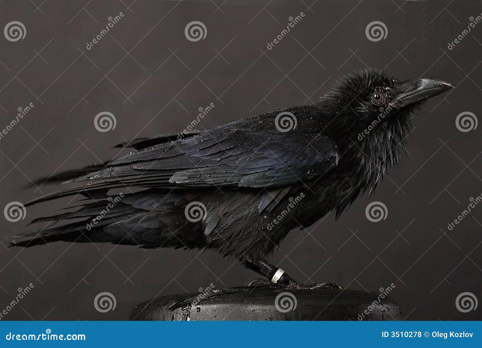 Καυλωμένος/η πουλιά πορνό