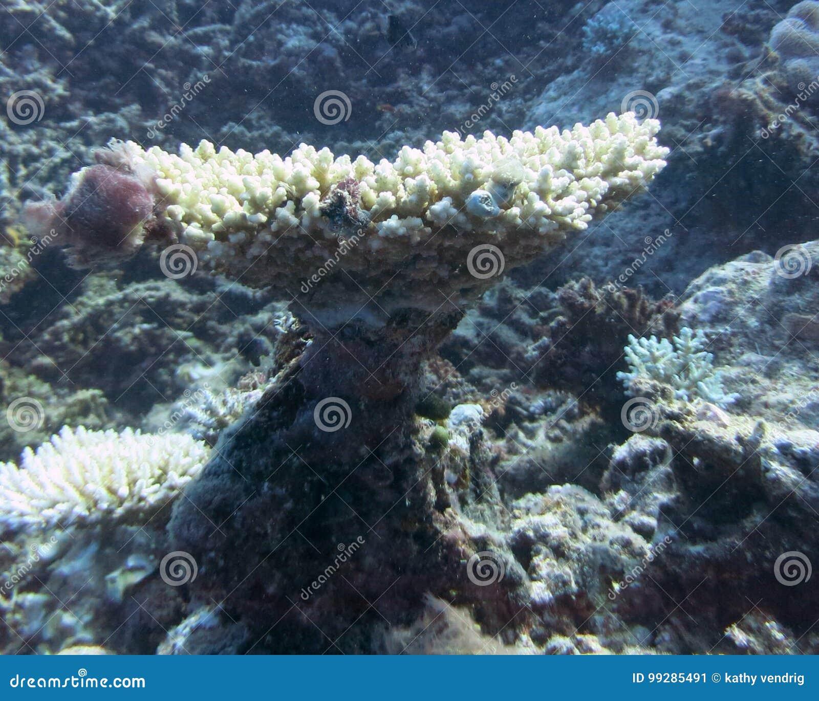 κοράλλι