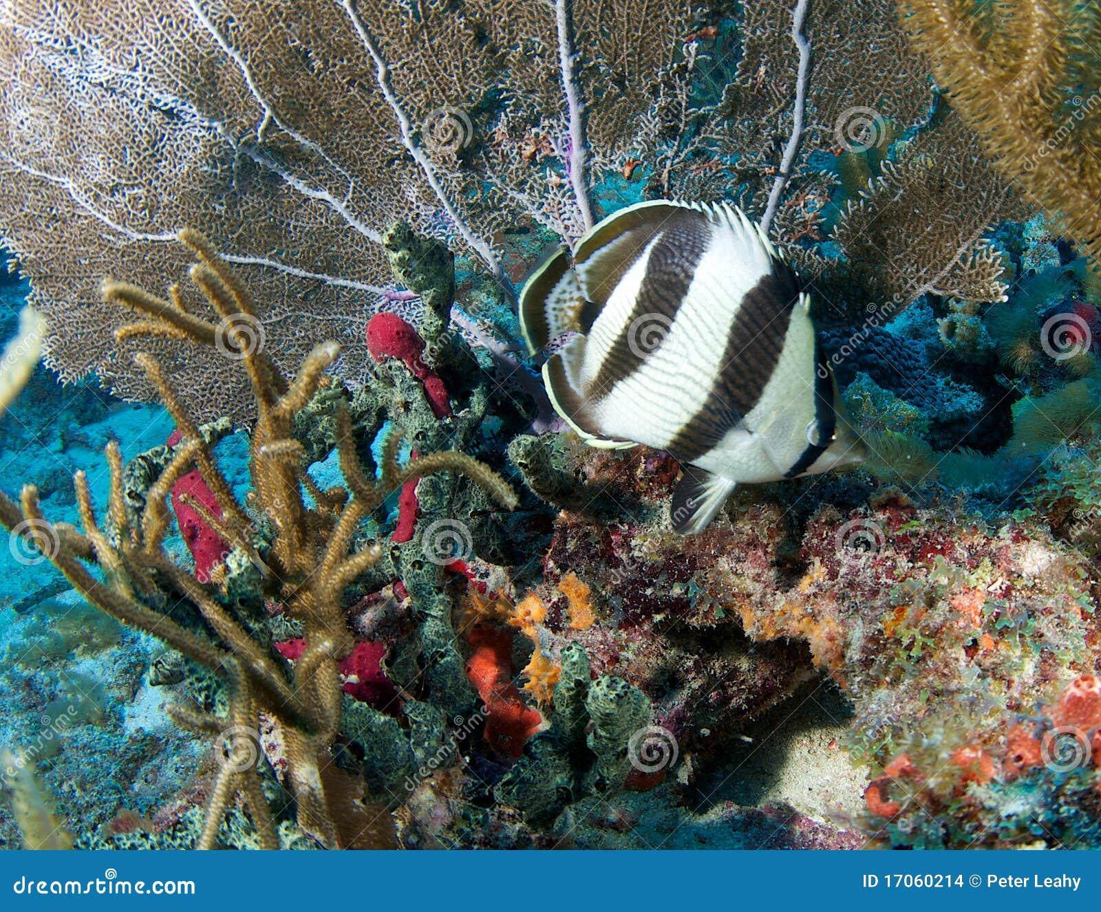 κοραλλιογενής ύφαλος &