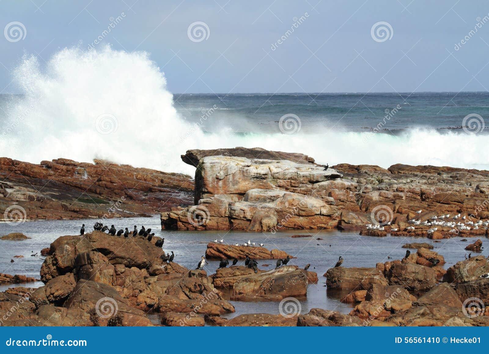 Download Κορμοράνοι στην ακτή του ακρωτηρίου της καλής ελπίδας Στοκ Εικόνες - εικόνα από ακρωτήριο, κυματωγή: 56561410