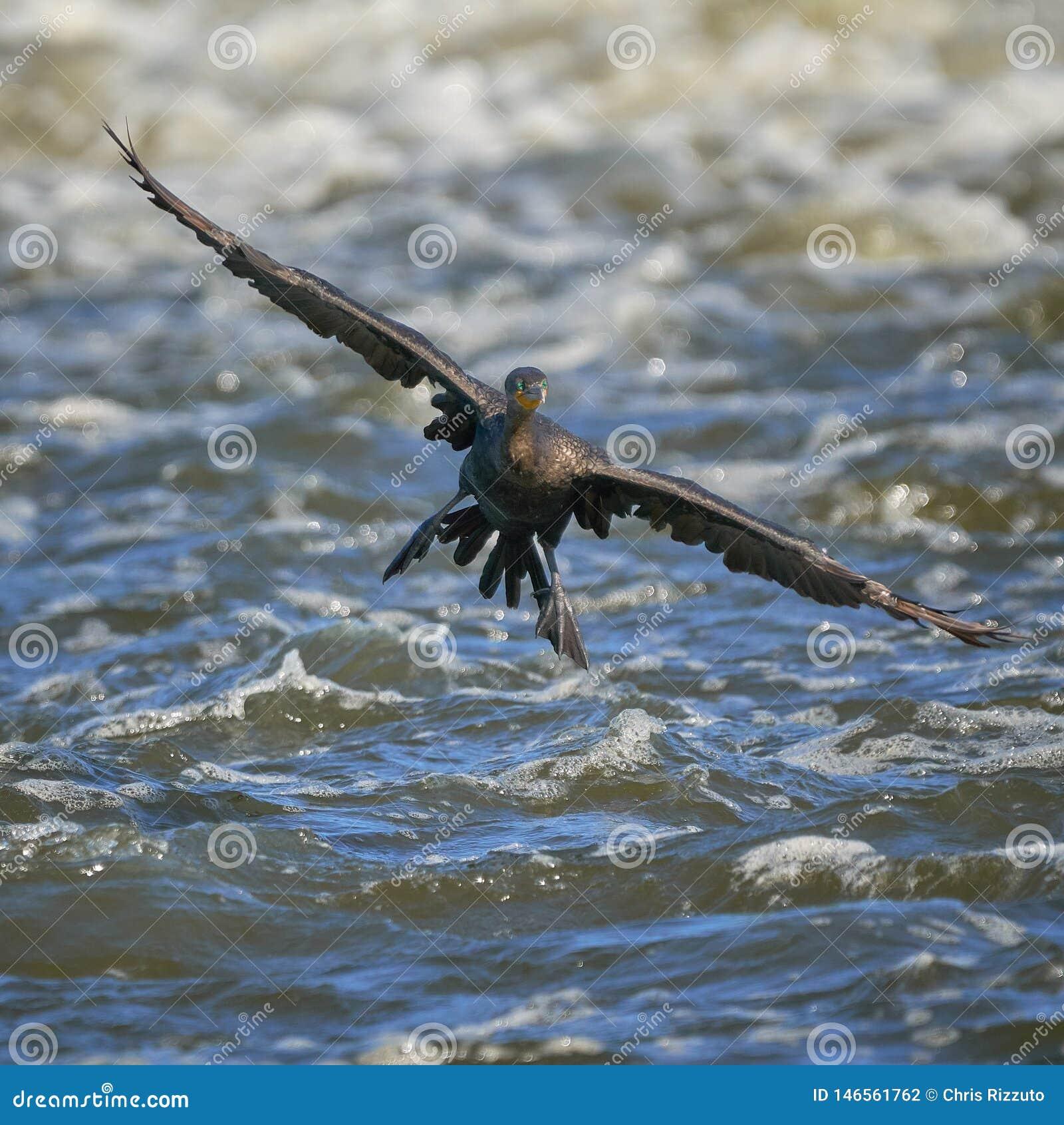 Κορμοράνος που προσγειώνεται στον ποταμό αλεπούδων