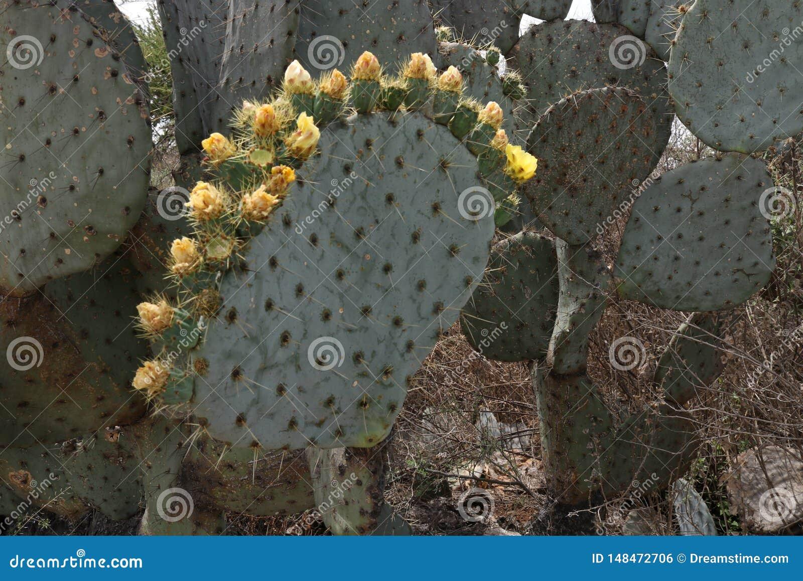 Κορώνα των ανθίζοντας λουλουδιών κάκτων