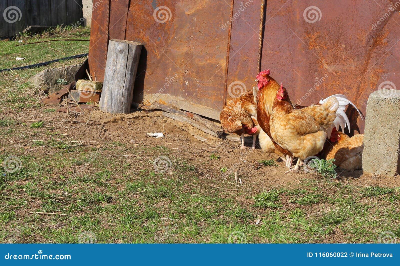 Κοτόπουλο και κόκκορας που περπατούν κάτω από την οδό