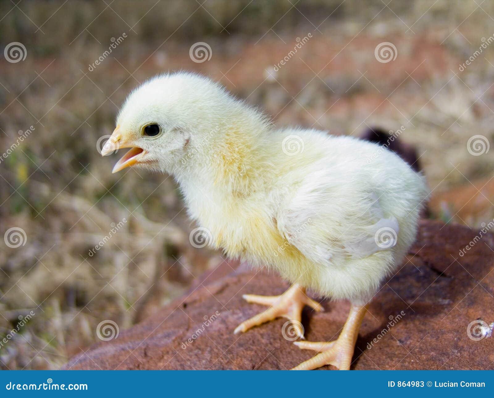 κοτόπουλο μωρών