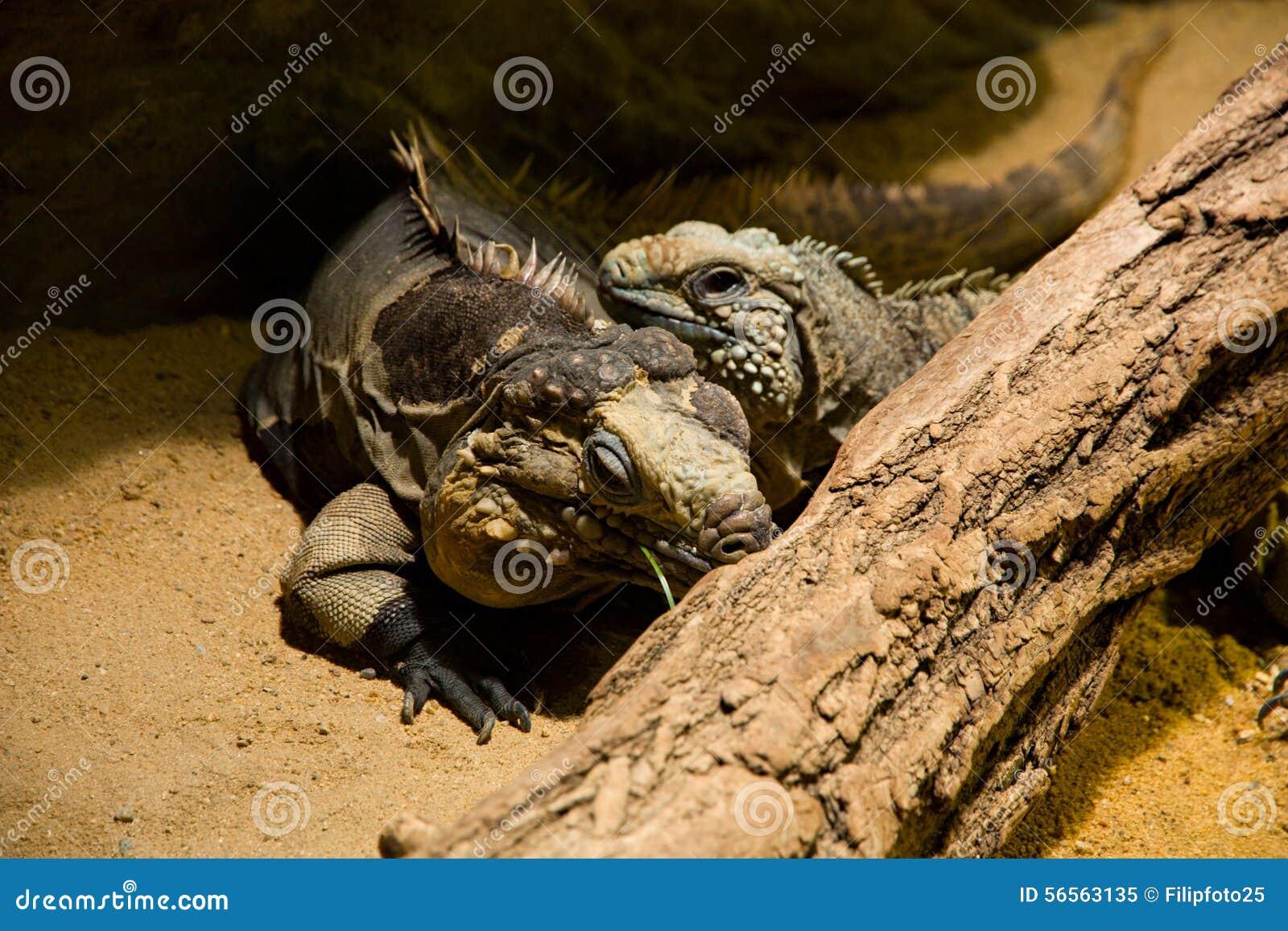 Download κουβανικό iguana στοκ εικόνα. εικόνα από spines, iguana - 56563135