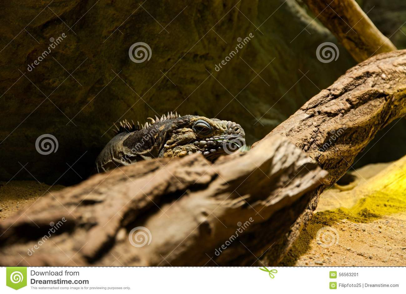 Download κουβανικό iguana στοκ εικόνα. εικόνα από ερπετό, δράκος - 56563201