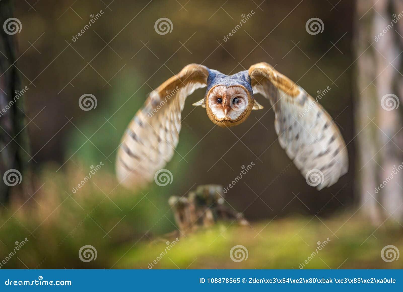 Κουκουβάγια σιταποθηκών που πετά στο δάσος