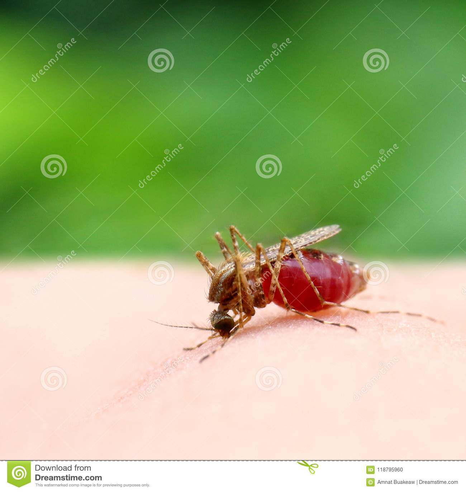 Κουνούπι, κόκκινη στενή επάνω εκλεκτική εστίαση αίματος απορρόφησης κουνουπιών