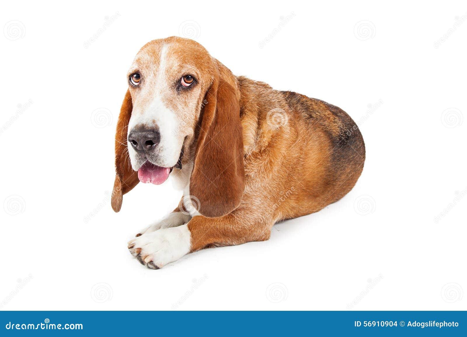 Κουρασμένη τοποθέτηση σκυλιών κυνηγόσκυλων μπασέ