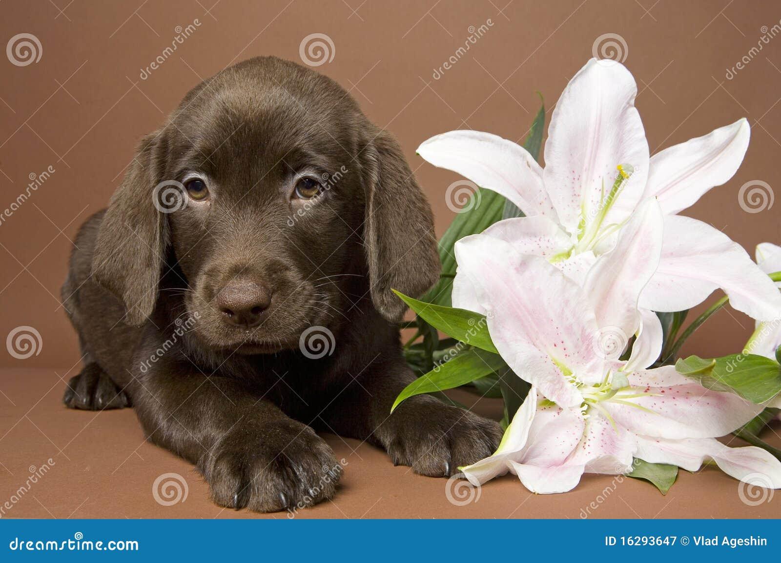 κουτάβι λουλουδιών