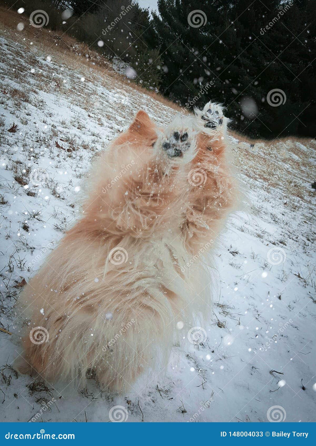 Κουτάβι Pomeranian στον πυροβολισμό χειμερινής δράσης χιονιού