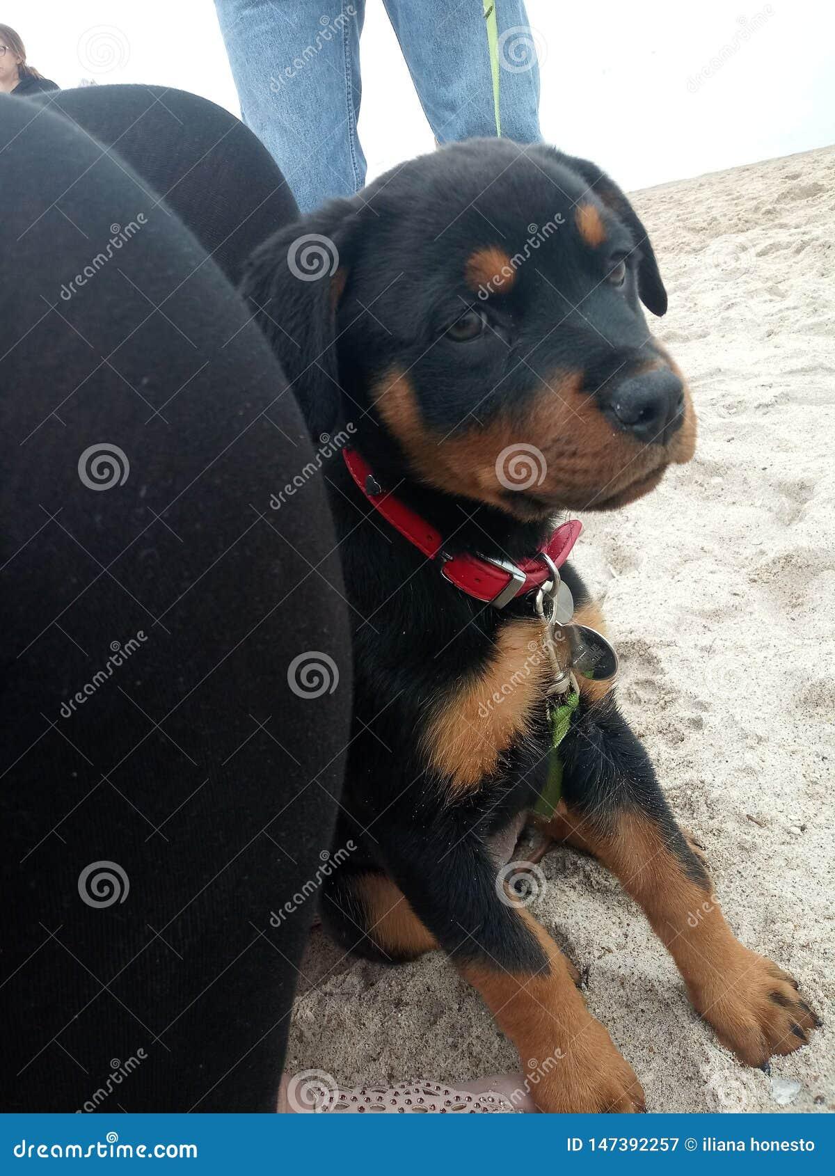 Κουτάβι Rottweiler σε μια παραλία