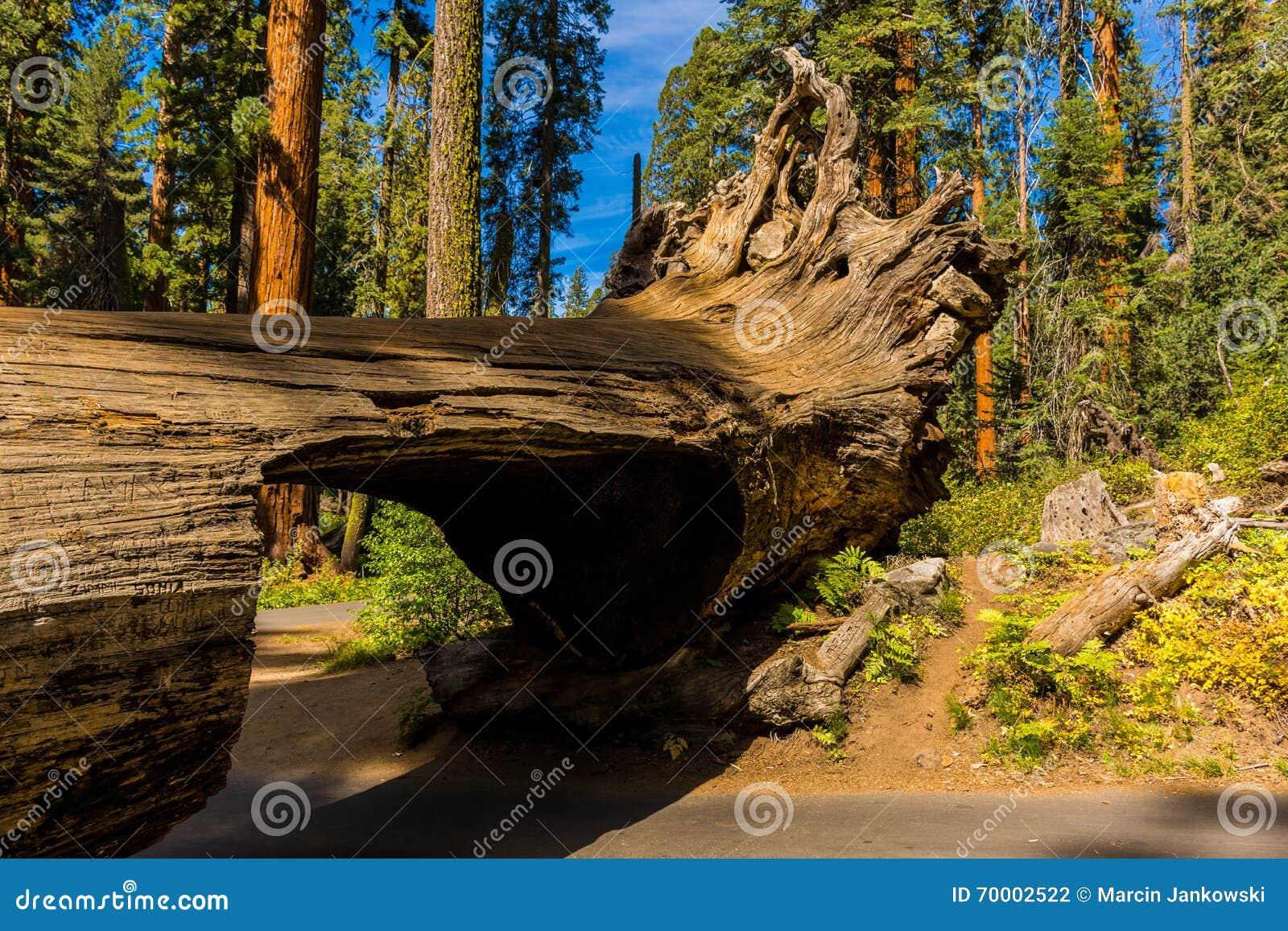 Κούτσουρο σηράγγων, γιγαντιαίο δάσος, Καλιφόρνια ΗΠΑ