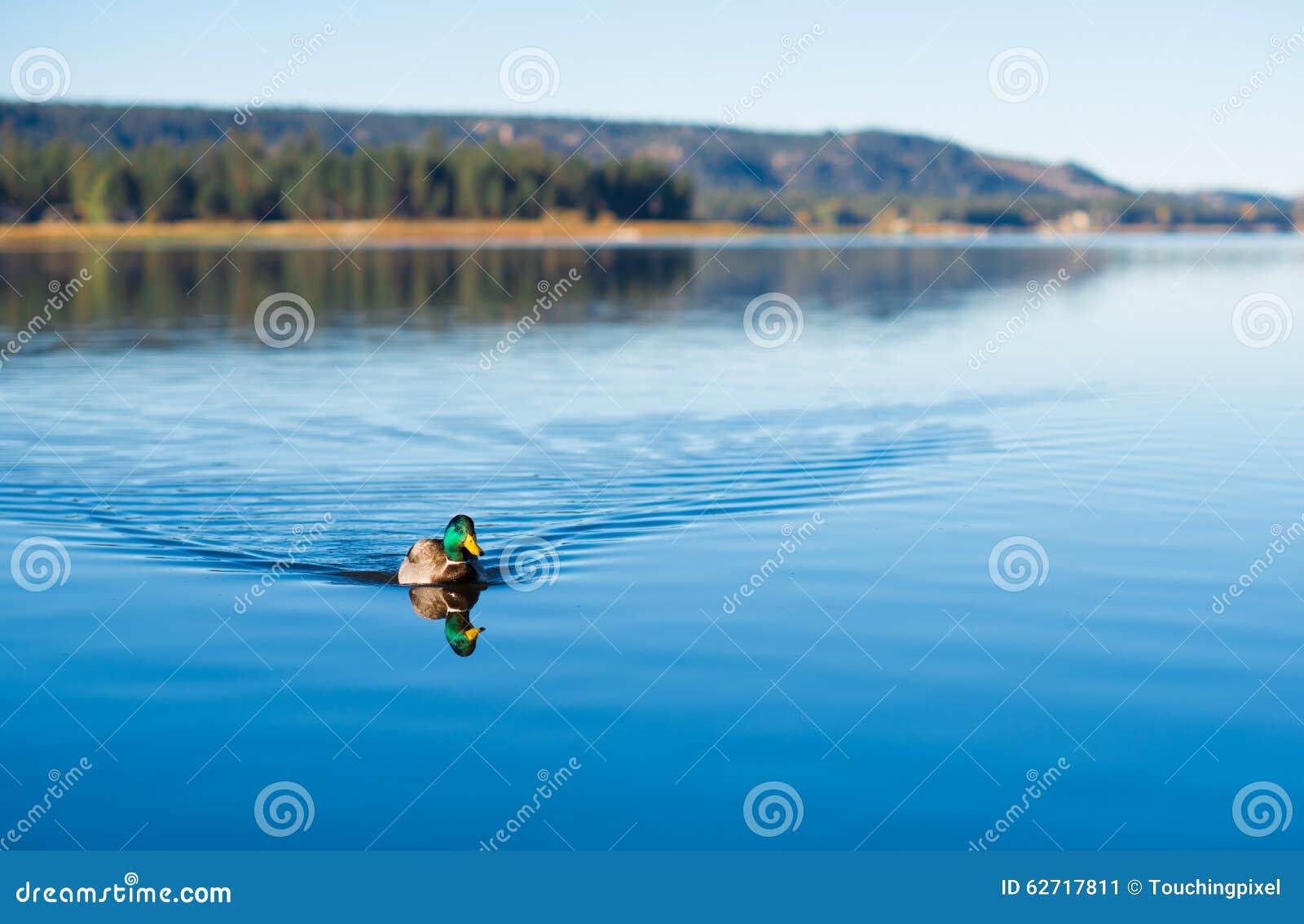 Κολύμβηση παπιών