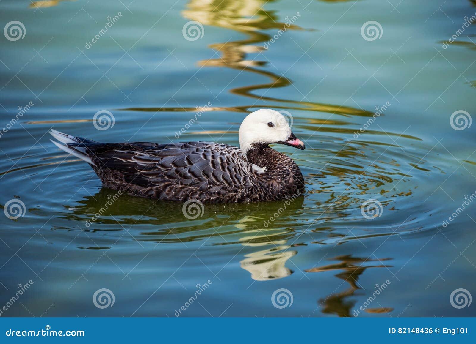 Κολύμβηση χήνων αυτοκρατόρων
