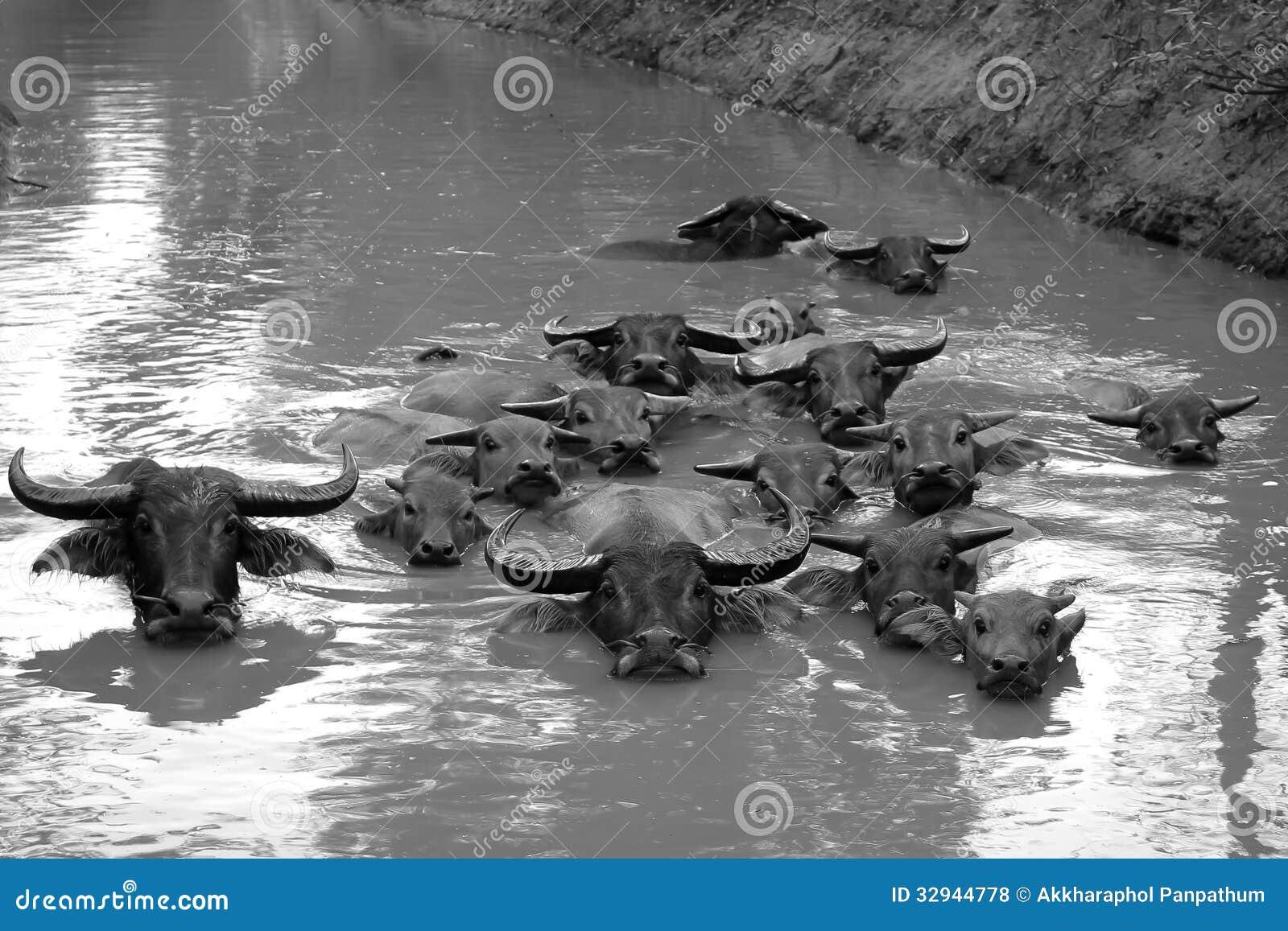 Κολύμβηση Buffalo