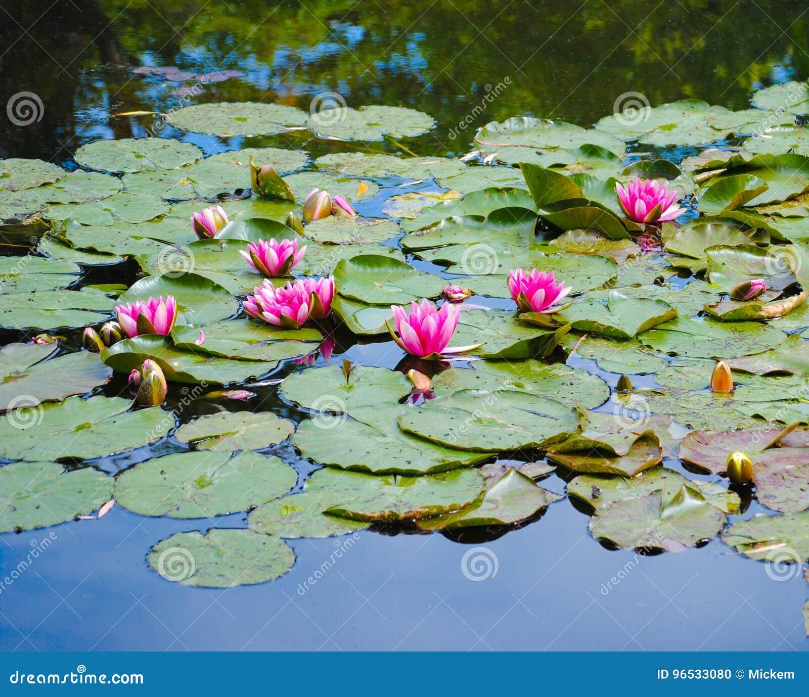 Κρίνοι νερού στο ανοιχτό ροζ