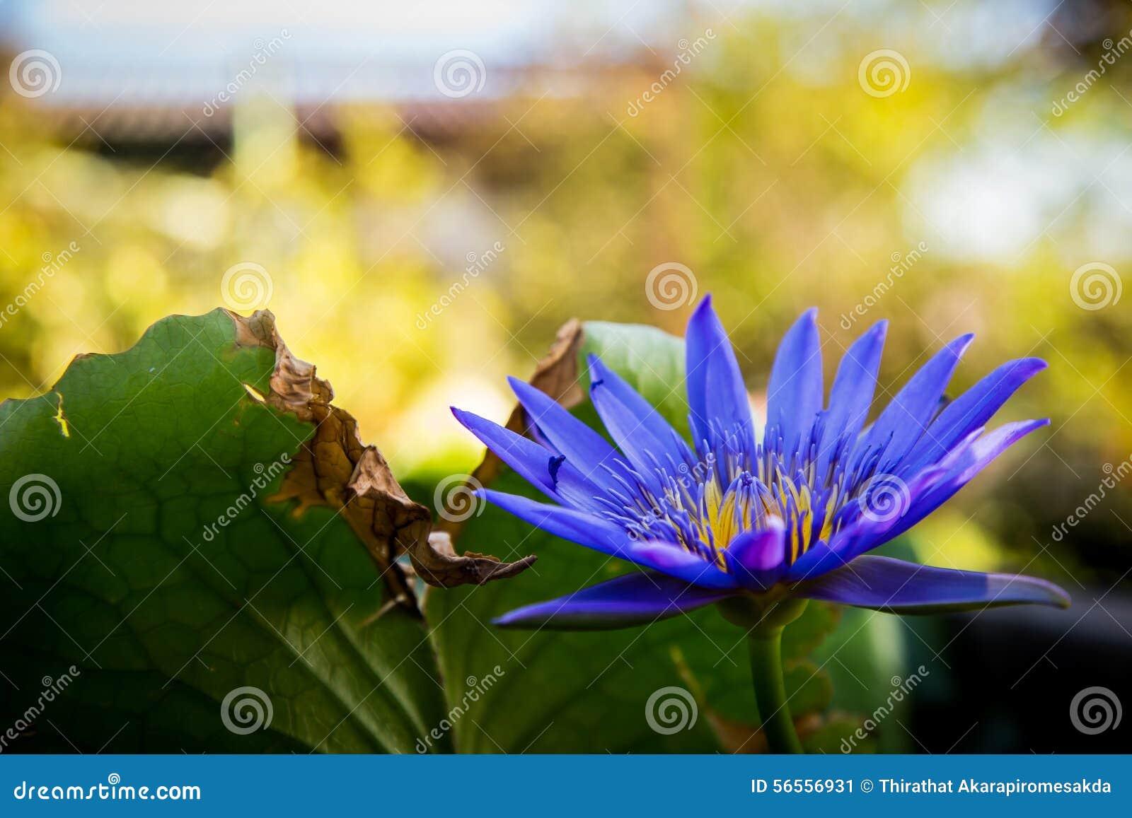 Download Κρίνος νερού το μπλε Lotus στοκ εικόνα. εικόνα από εποχή - 56556931