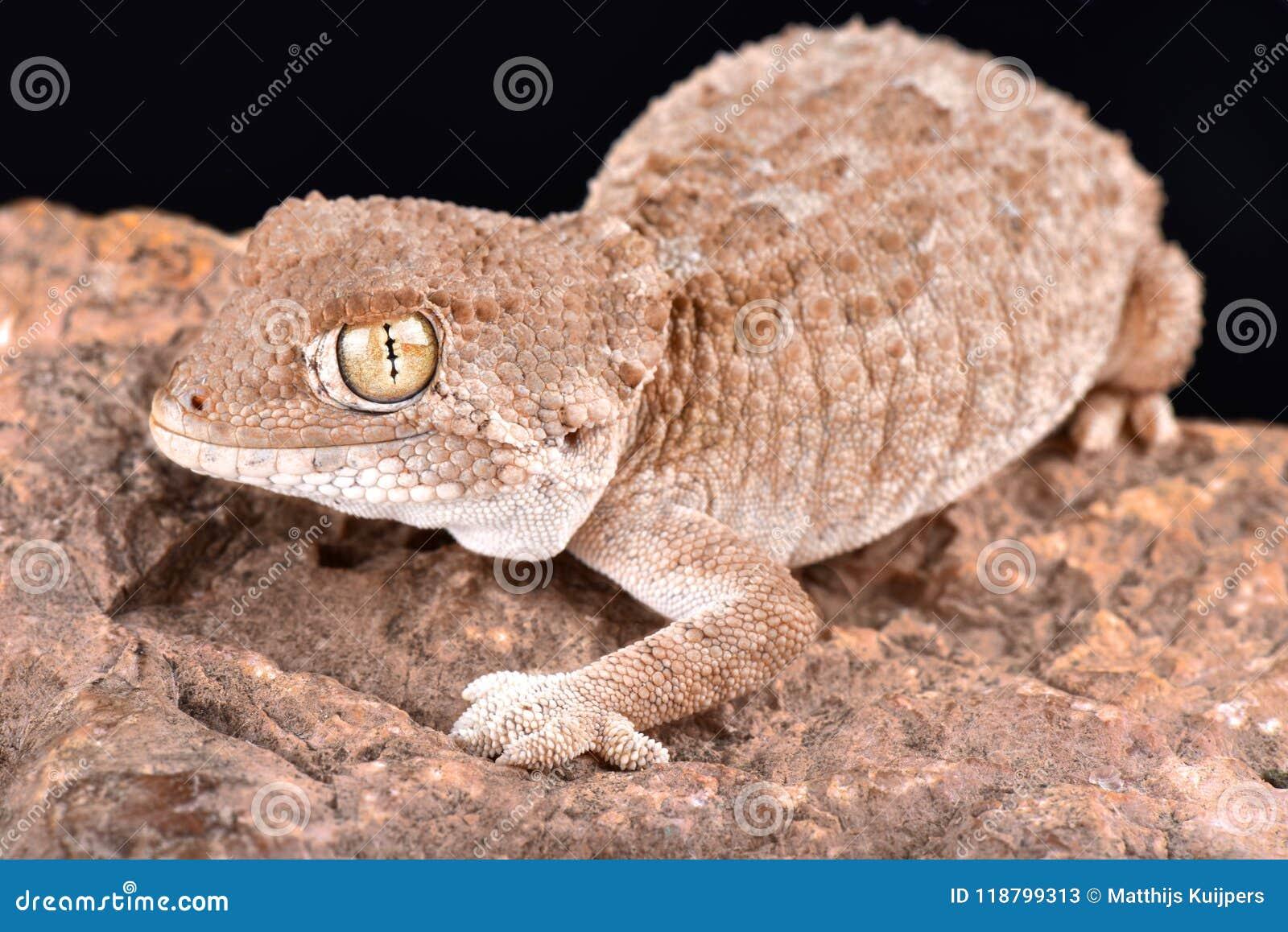 Κρανοφόρα chazaliae Gecko Tarentola