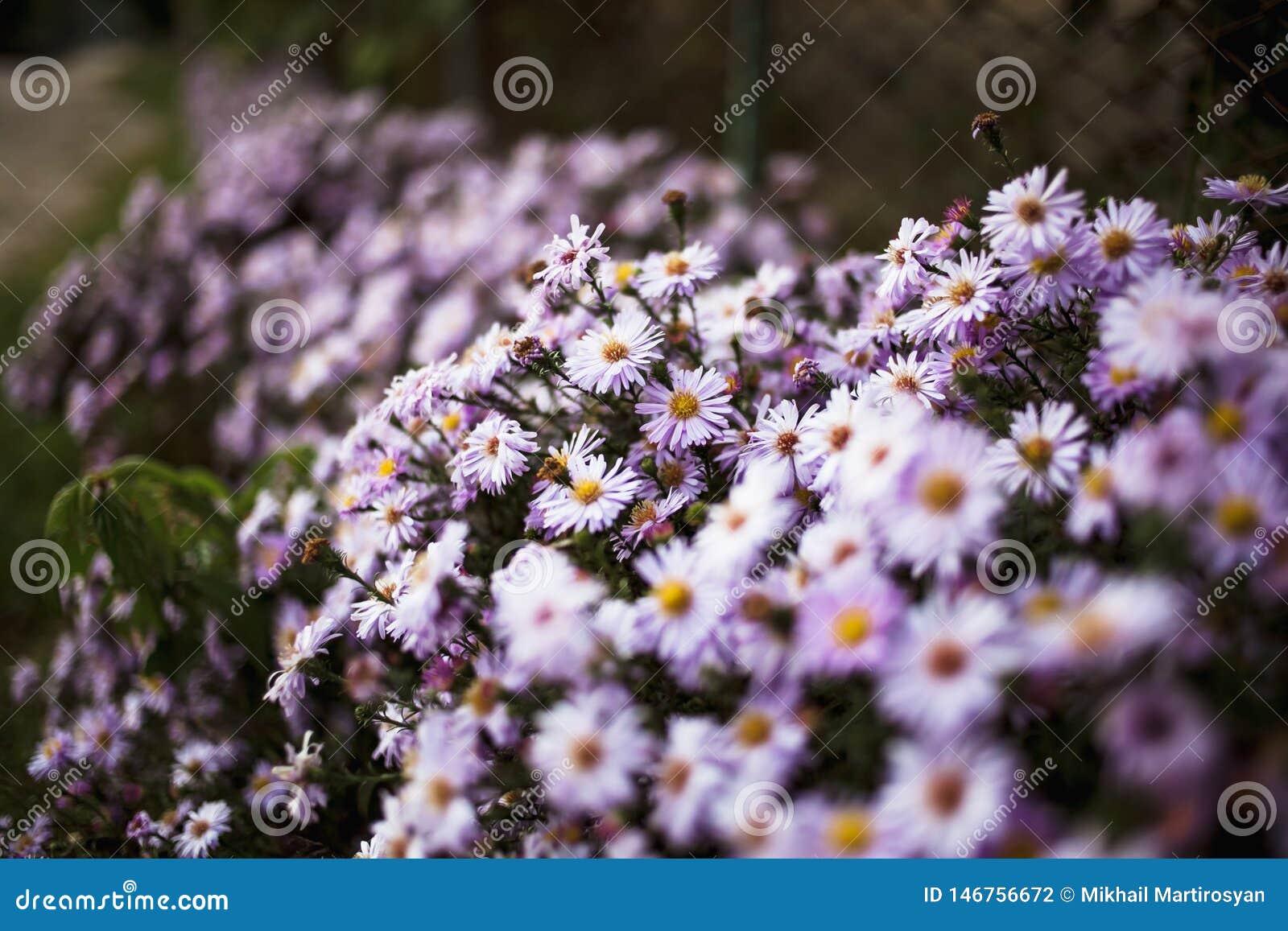 Κρεβάτι θερινών λουλουδιών με τις ανθίζοντας πορφυρές μαργαρίτες