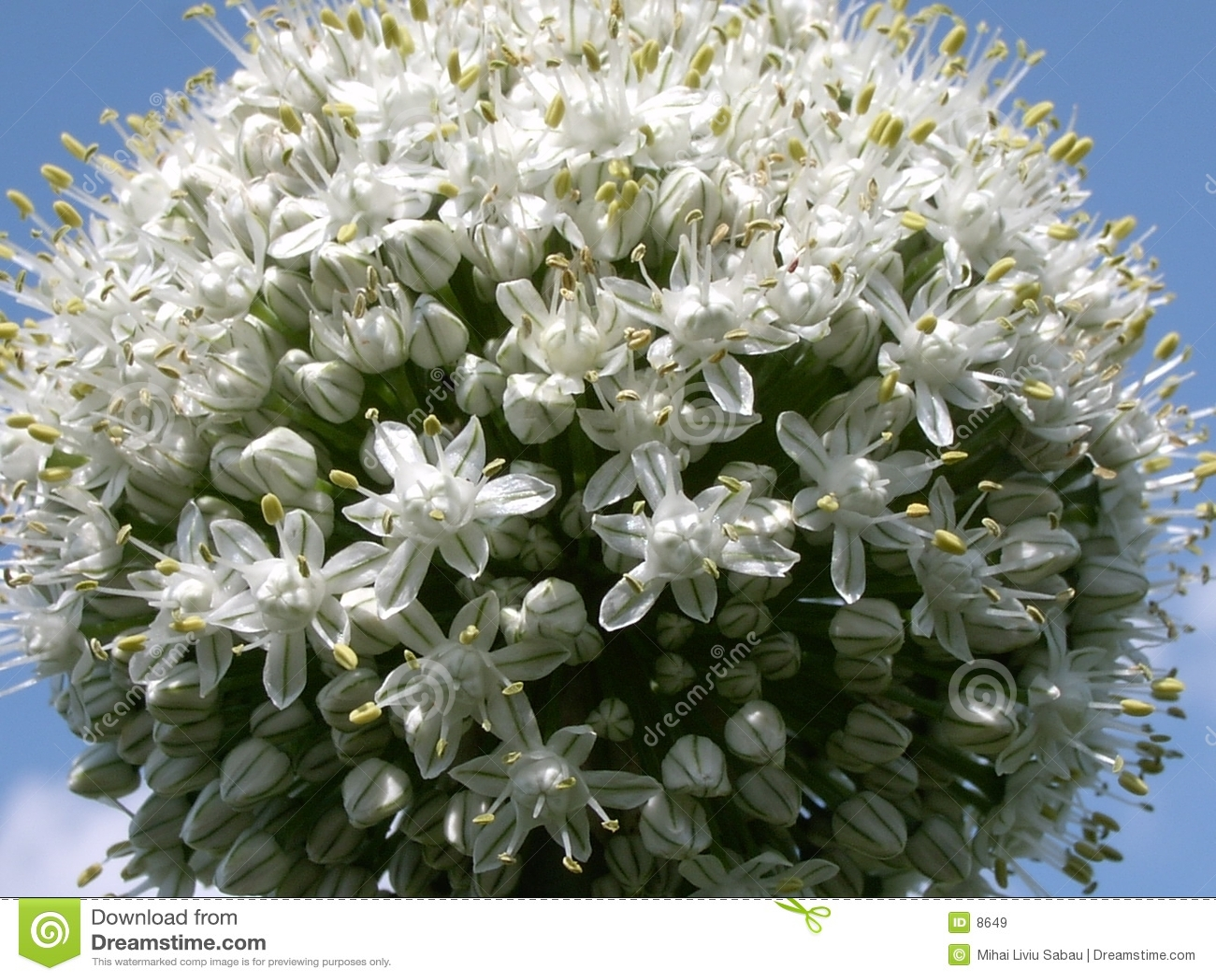 κρεμμύδι 2 λουλουδιών