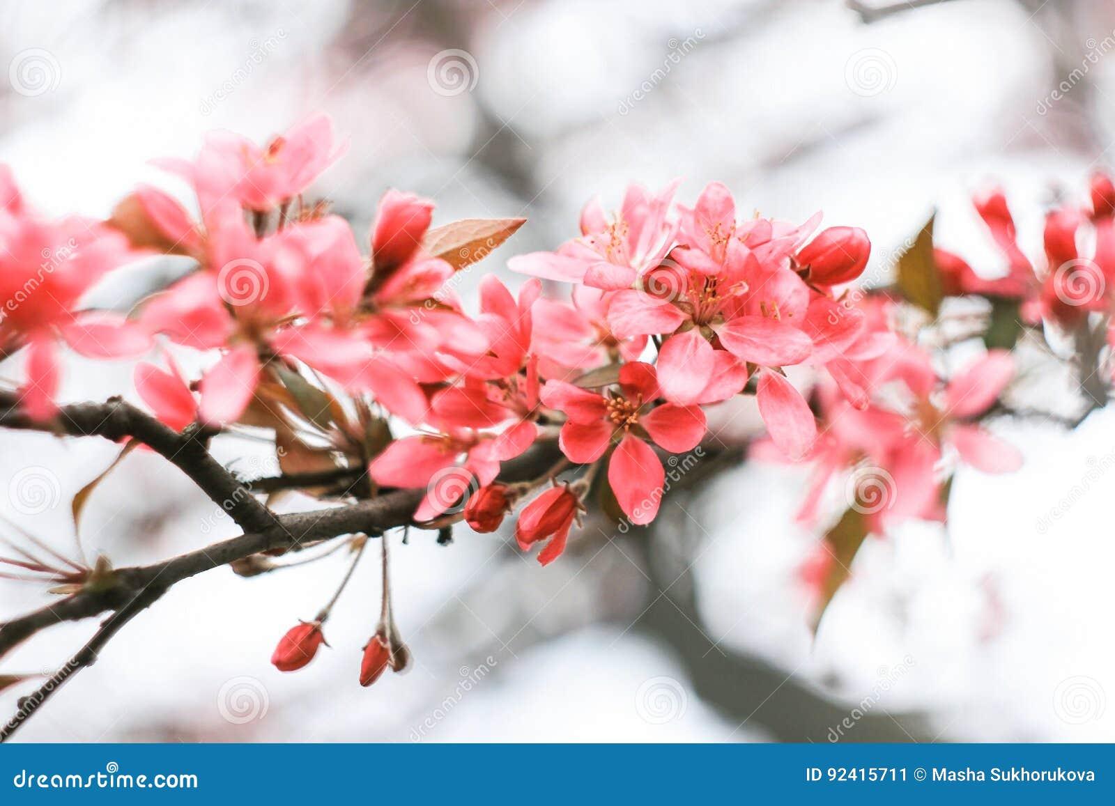 Κρεμώδης ρόδινη επάνθιση sakura