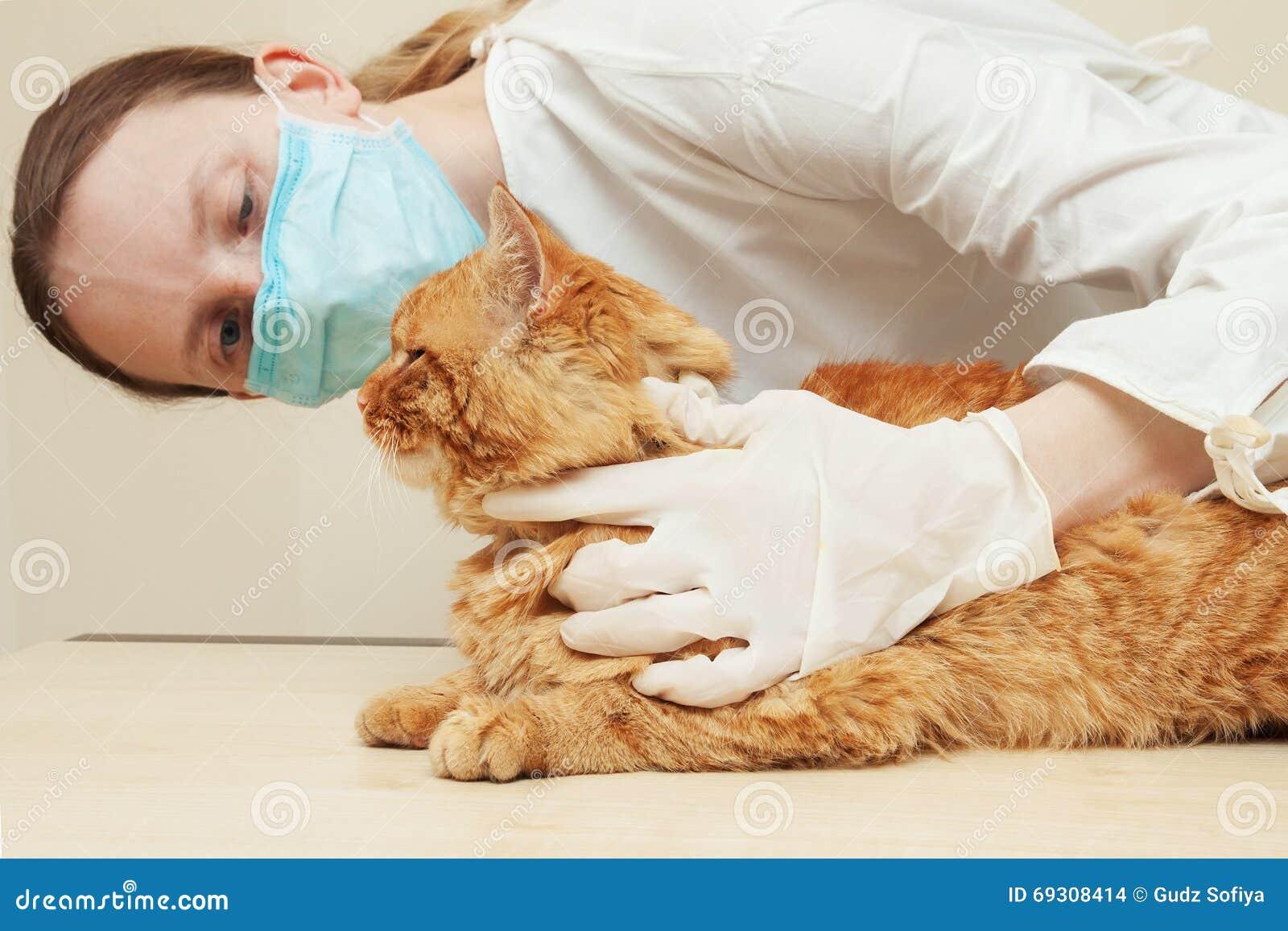 Κτηνίατρος που εξετάζει τα δόντια μιας κόκκινης γάτας κάνοντας την εξέταση  Στοκ Εικόνες - εικόνα από lifestyle, following: 69308414