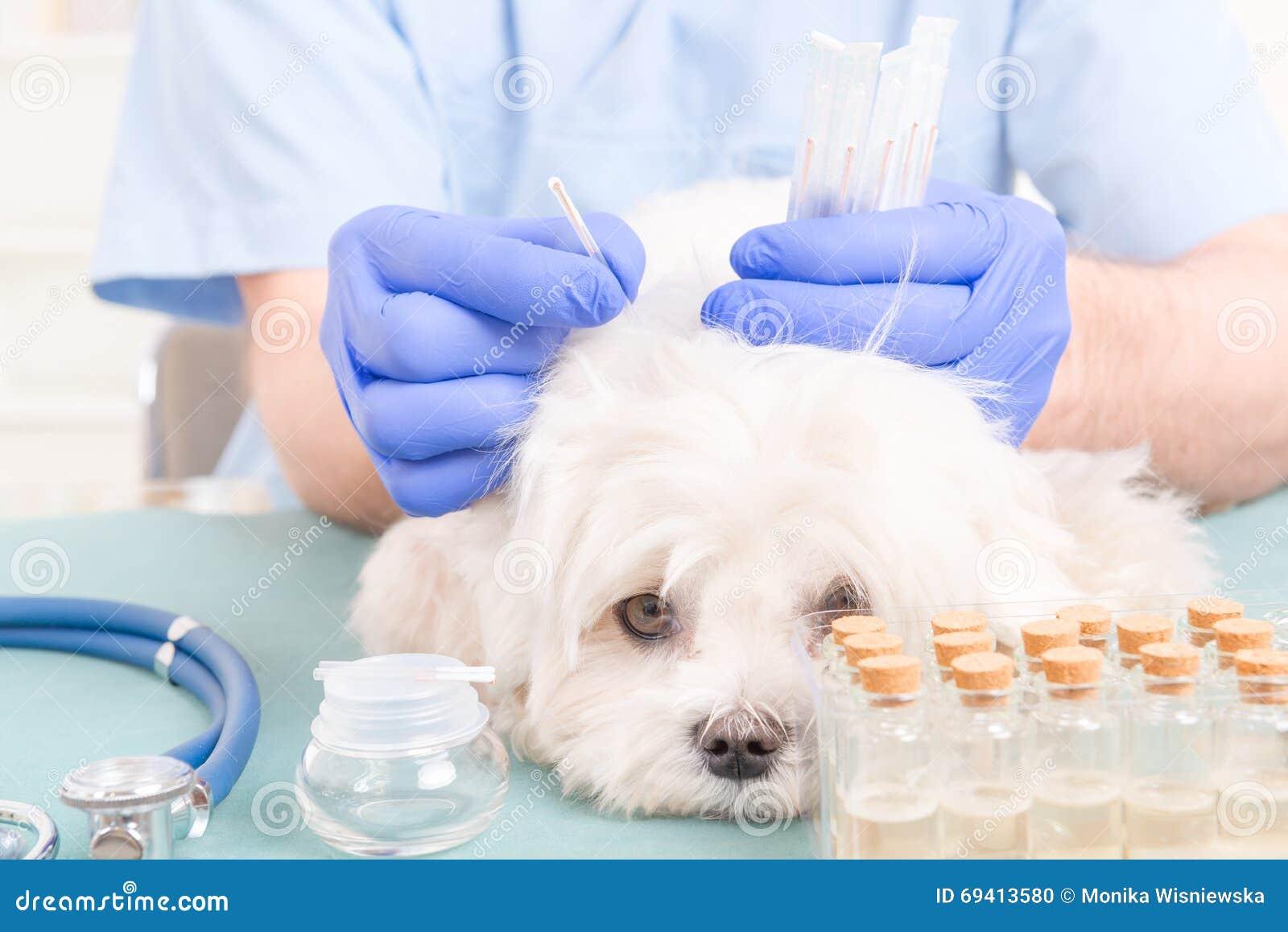 Κτηνίατρος που κάνει την επεξεργασία βελονισμού