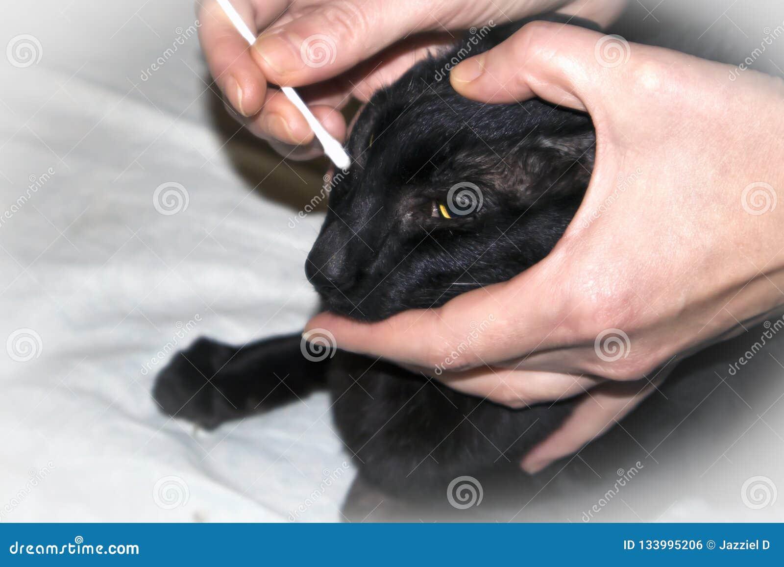 Κτηνιατρικός γιατρός που ελέγχει επάνω τα μάτια της μαύρης ασιατικής γάτας