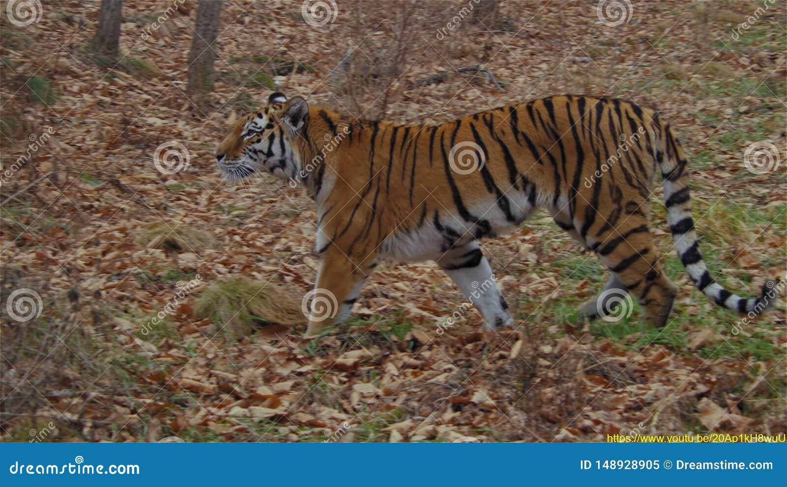 Κυνήγι τιγρών στο δάσος