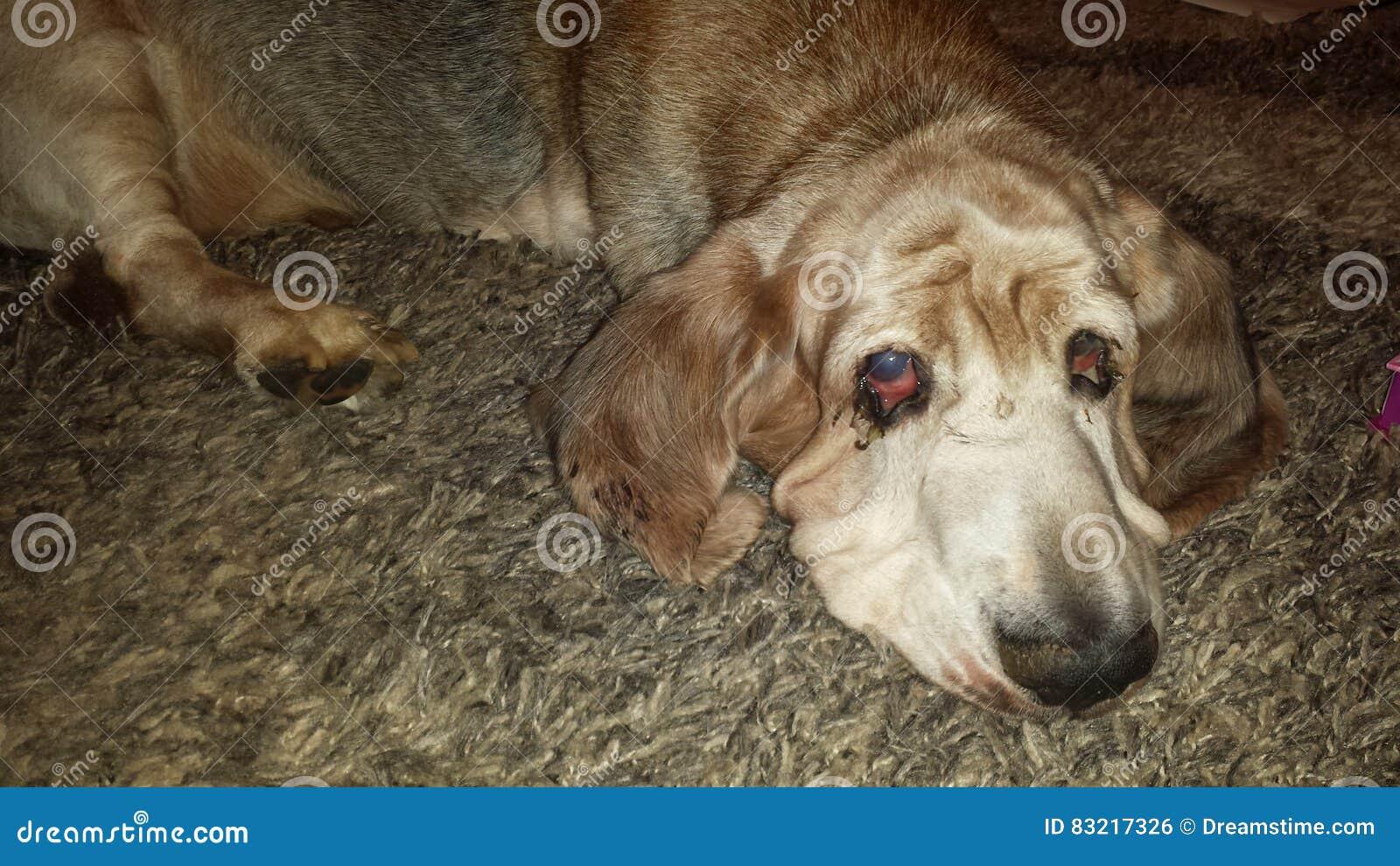 Κυνηγόσκυλο μπασέ