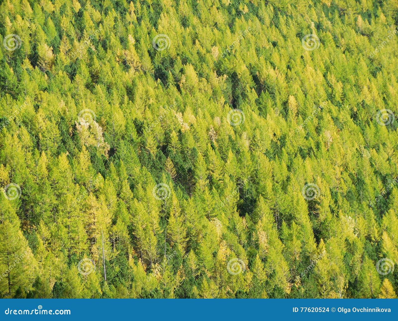 κωνοφόρο άγριο δάσος taiga στη Σιβηρία, βουνά Altai