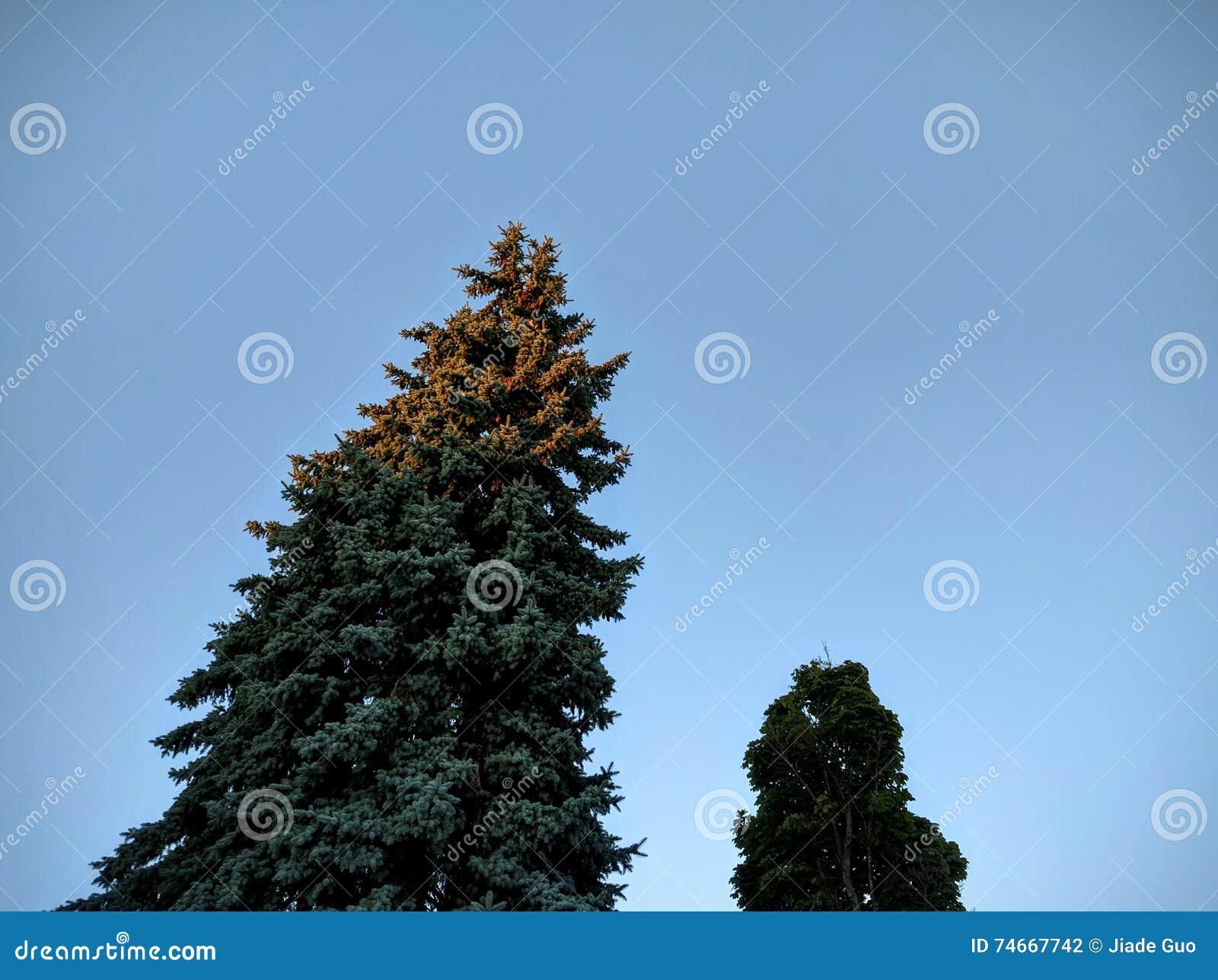 Κωνοφόρο δέντρο ηλιοβασιλέματος