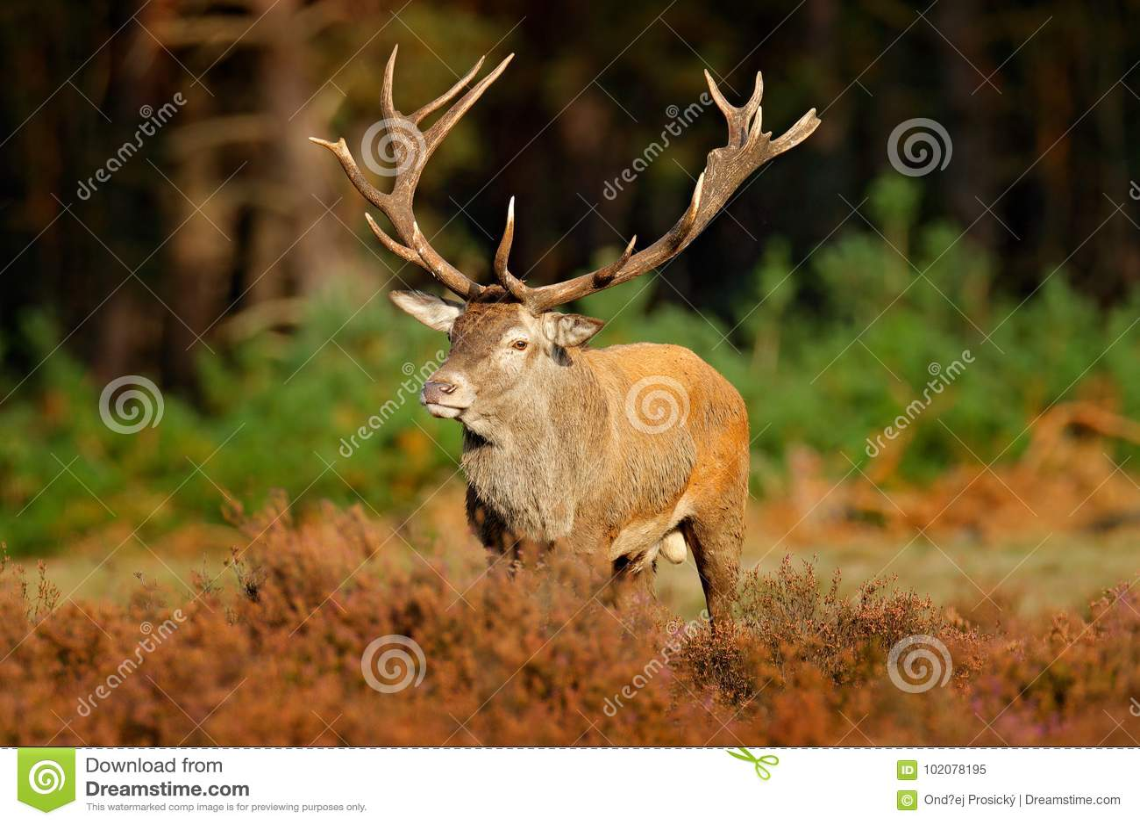 Κόκκινα ελάφια, rutting εποχή, Hoge Veluwe, Κάτω Χώρες Αρσενικό ελάφι ελαφιών, μεγαλοπρεπές ισχυρό ζώο φυσητήρων έξω από το ξύλιν