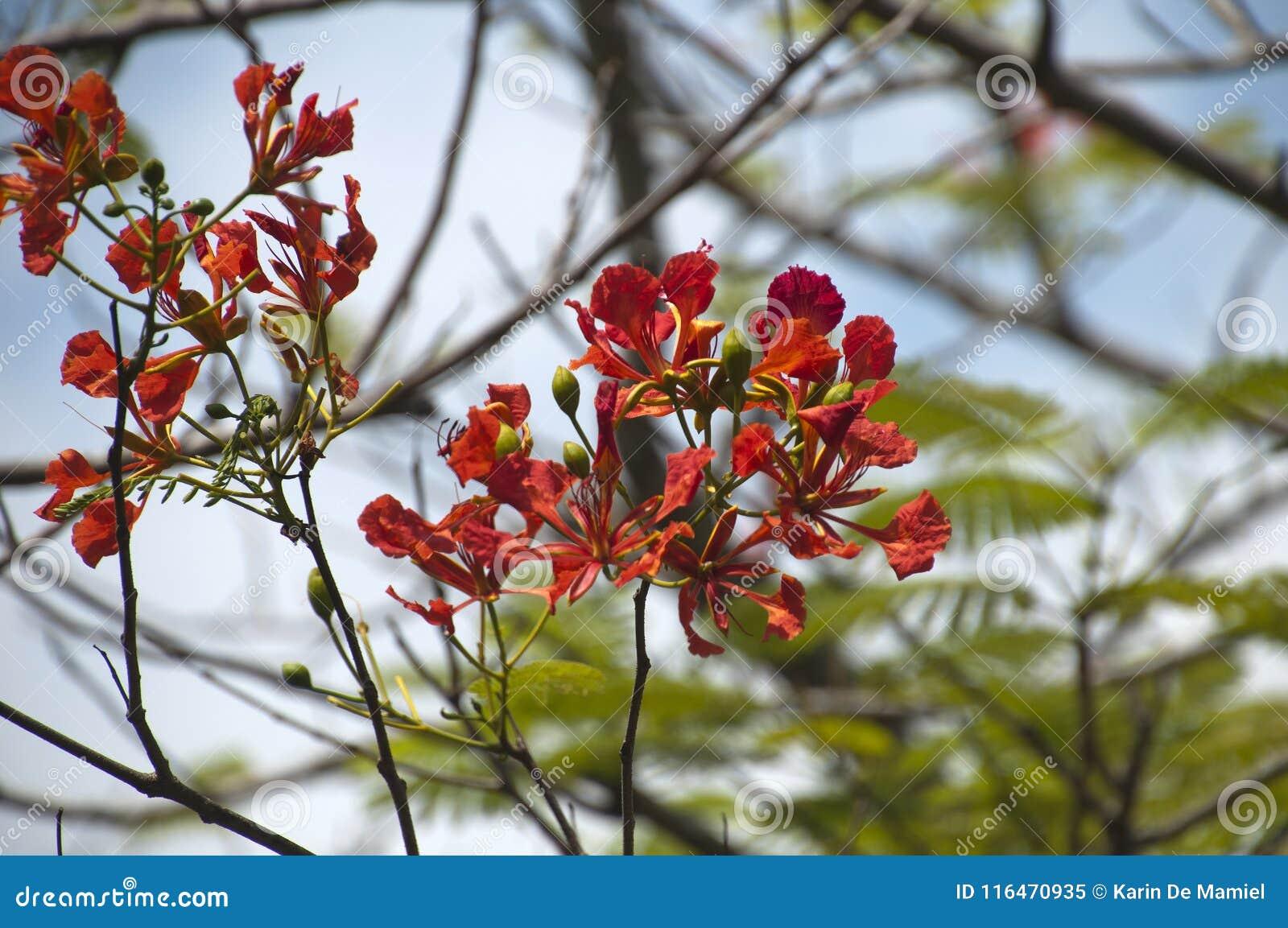Κόκκινα λουλούδια ενός δέντρου regia delonix
