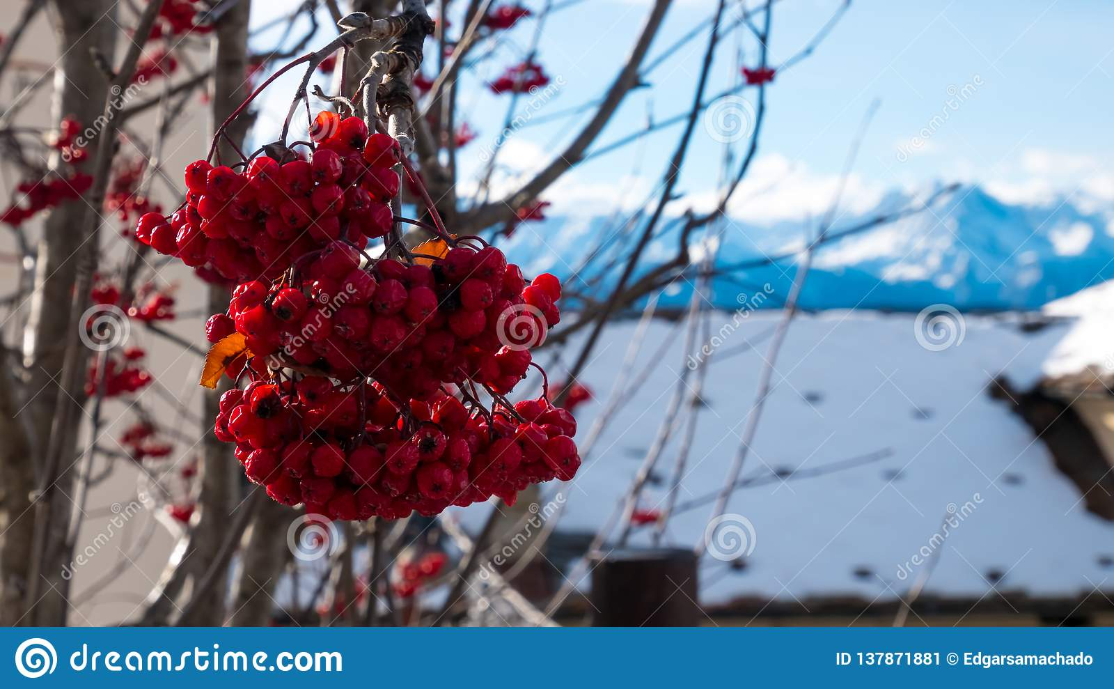 Κόκκινα μούρα με το χιονώδες υπόβαθρο