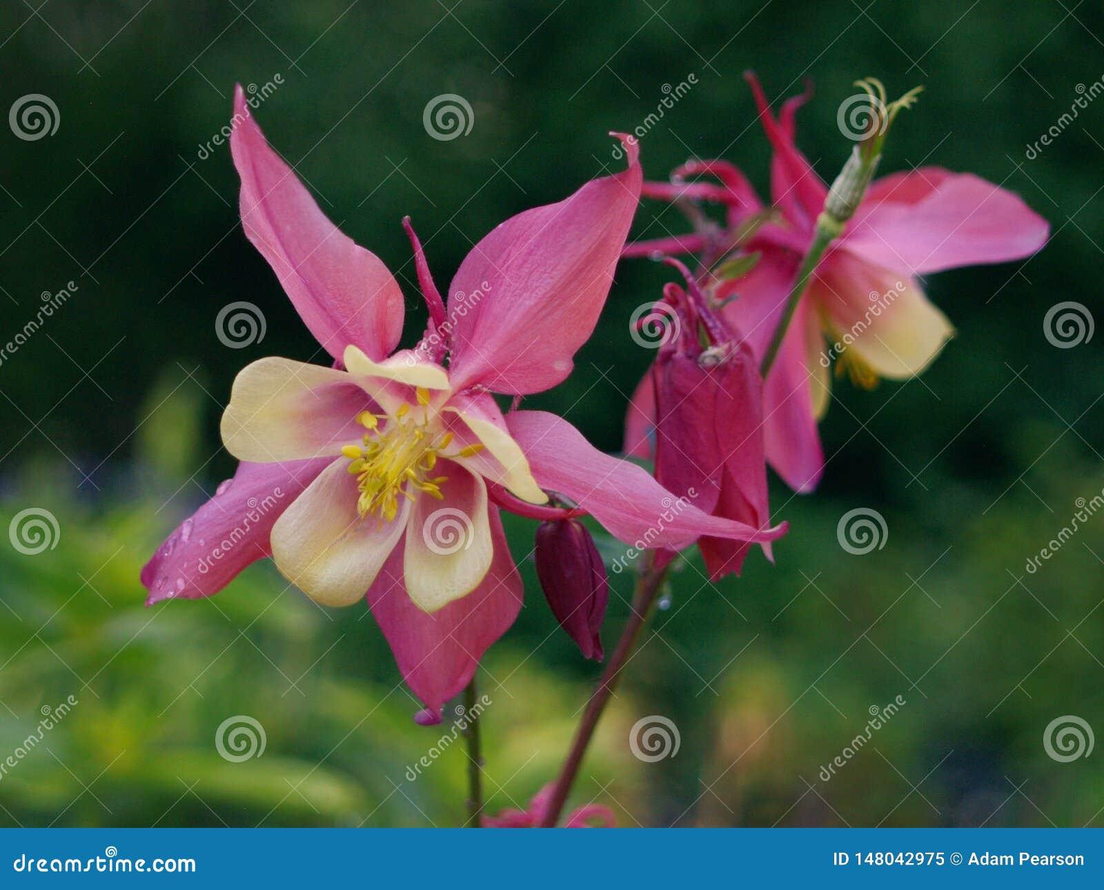 Κόκκινα/πορφυρά και κίτρινα λουλούδια Aquilegia