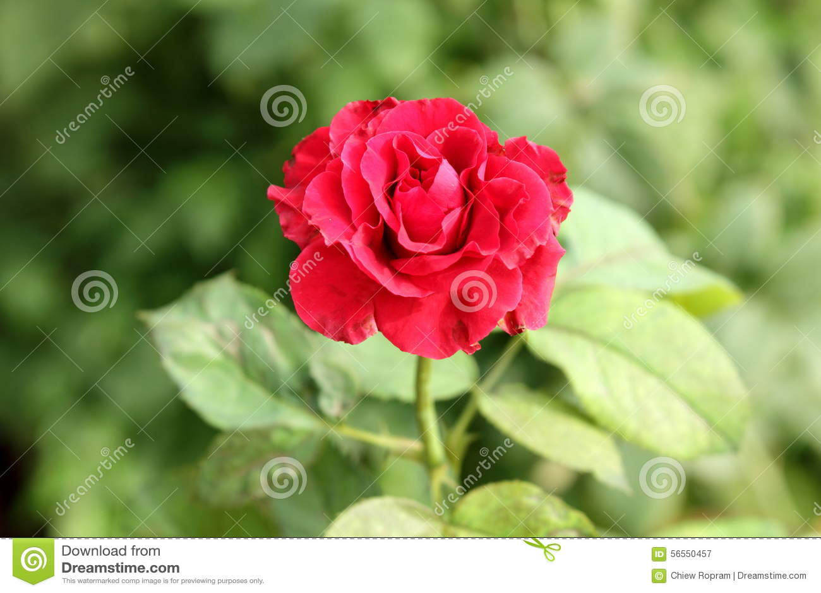 Download κόκκινα τριαντάφυλλα στοκ εικόνα. εικόνα από φρέσκος - 56550457