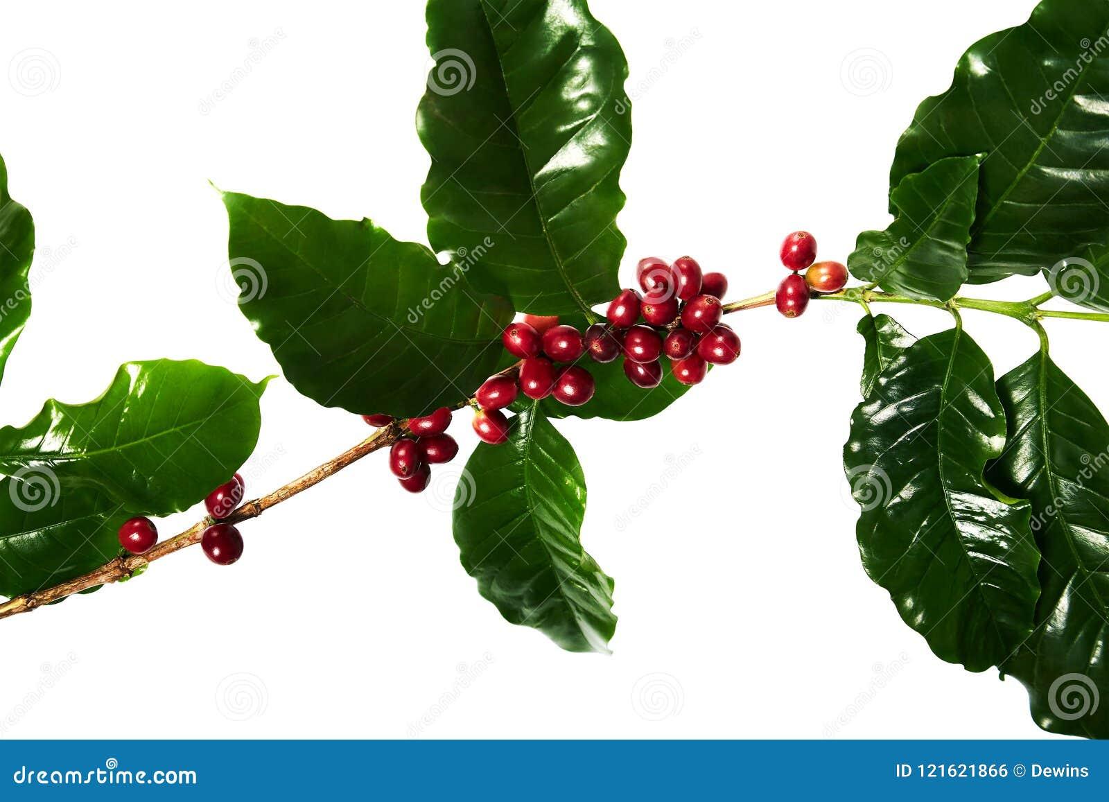 Κόκκινα φασόλια καφέ σε έναν κλάδο του δέντρου καφέ με τα φύλλα, ώριμα και unripe φασόλια καφέ που απομονώνονται στο άσπρο υπόβαθ